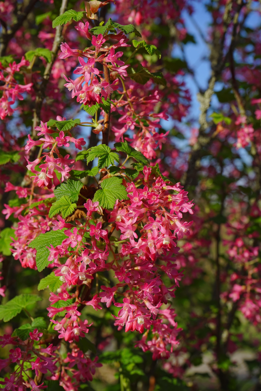 images gratuites : arbre, fleur, feuille, floraison, buisson, rouge