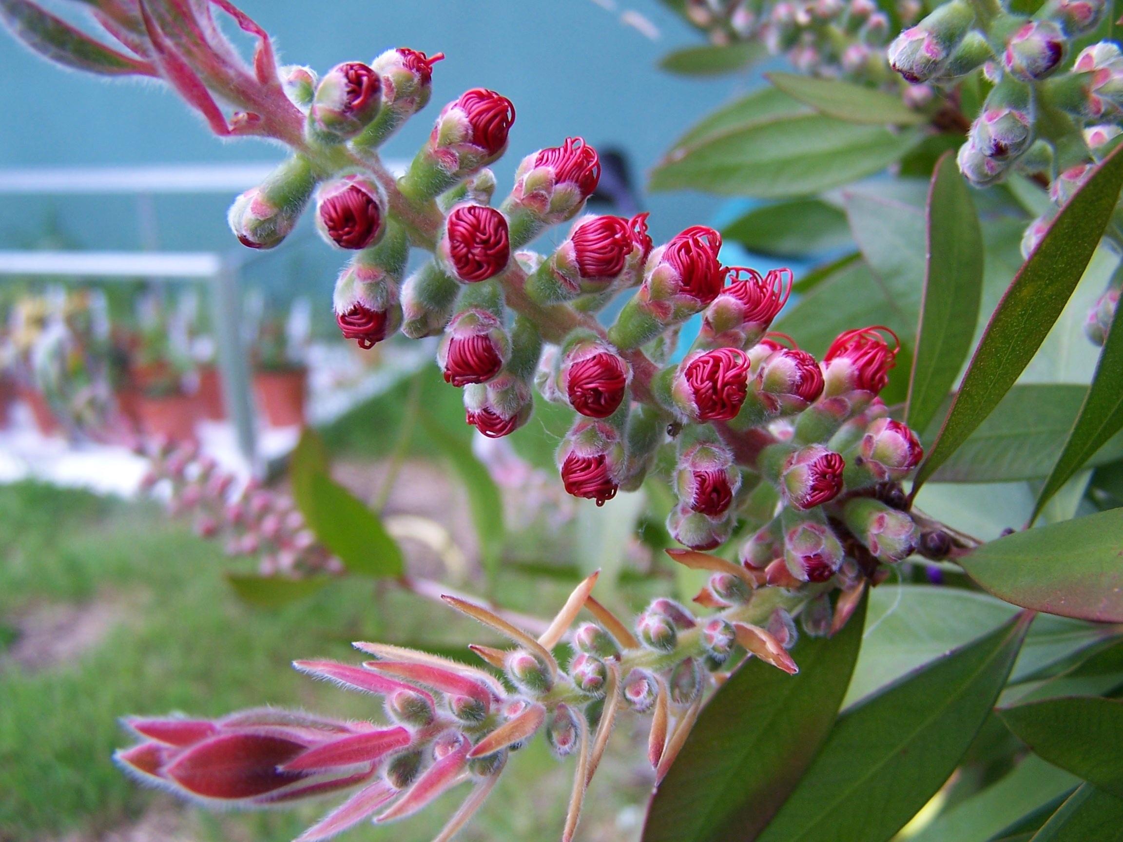 Images gratuites arbre fleur feuille buisson printemps rouge produire feuilles - Arbres a fleurs rouges ...