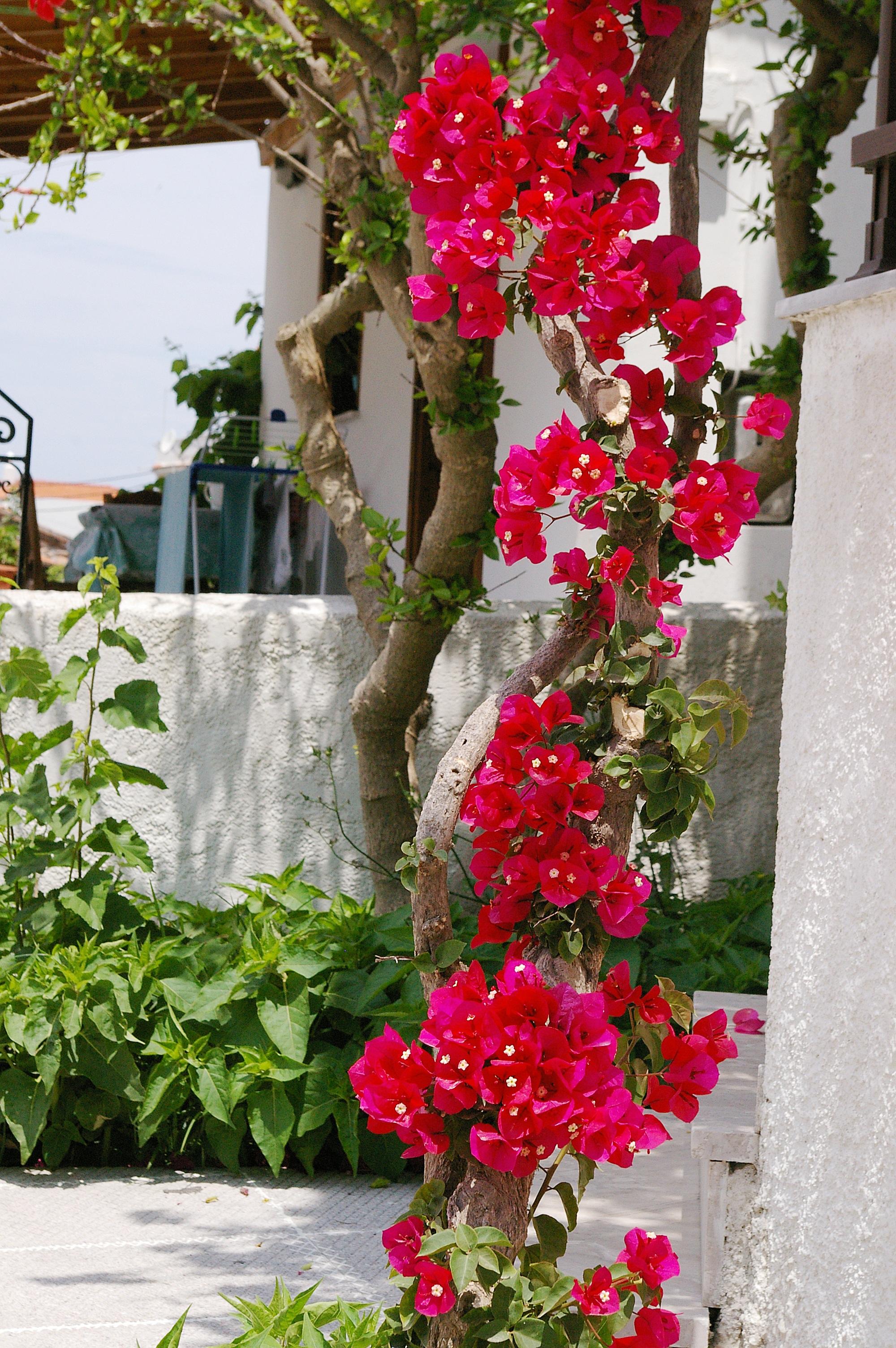 Bougainville Fleur se rapportant à images gratuites : arbre, fleur, route, floraison, été, rose