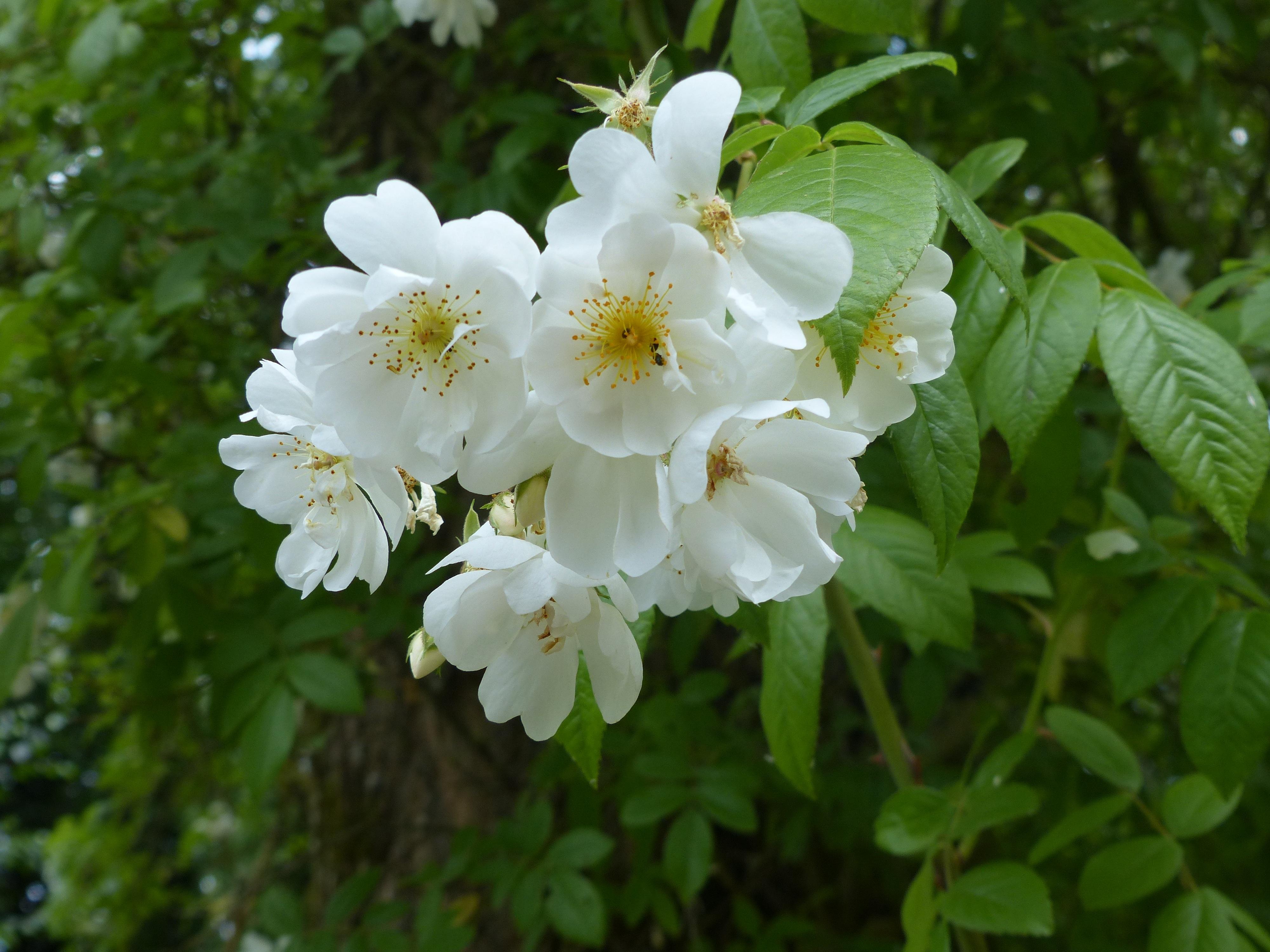 Free Images Tree White Flower Botany Flora Cherry Blossom