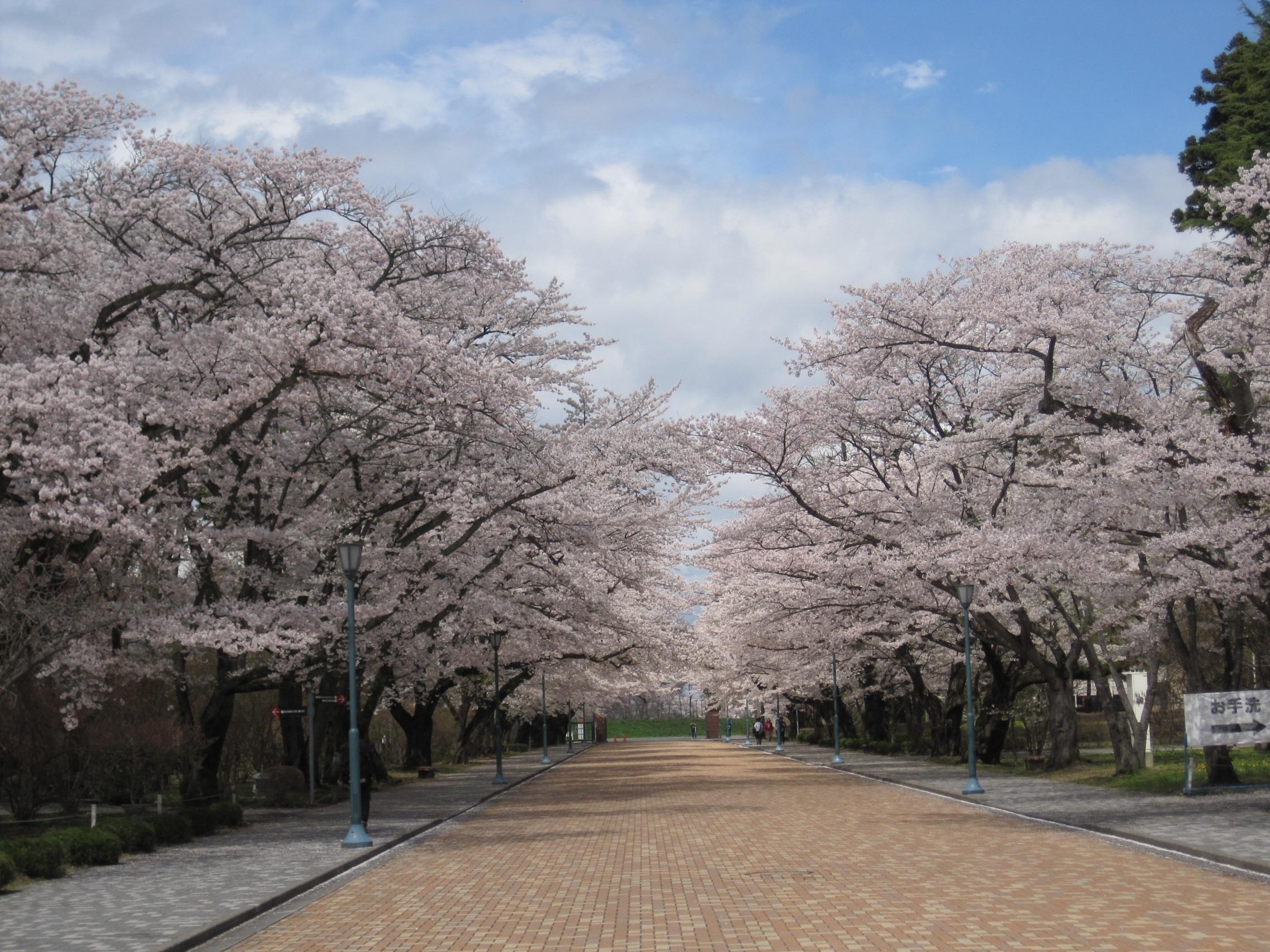 Images gratuites arbre plante bois rose japon fleur de cerisier fleurs de printemps - Arbre rose japon ...