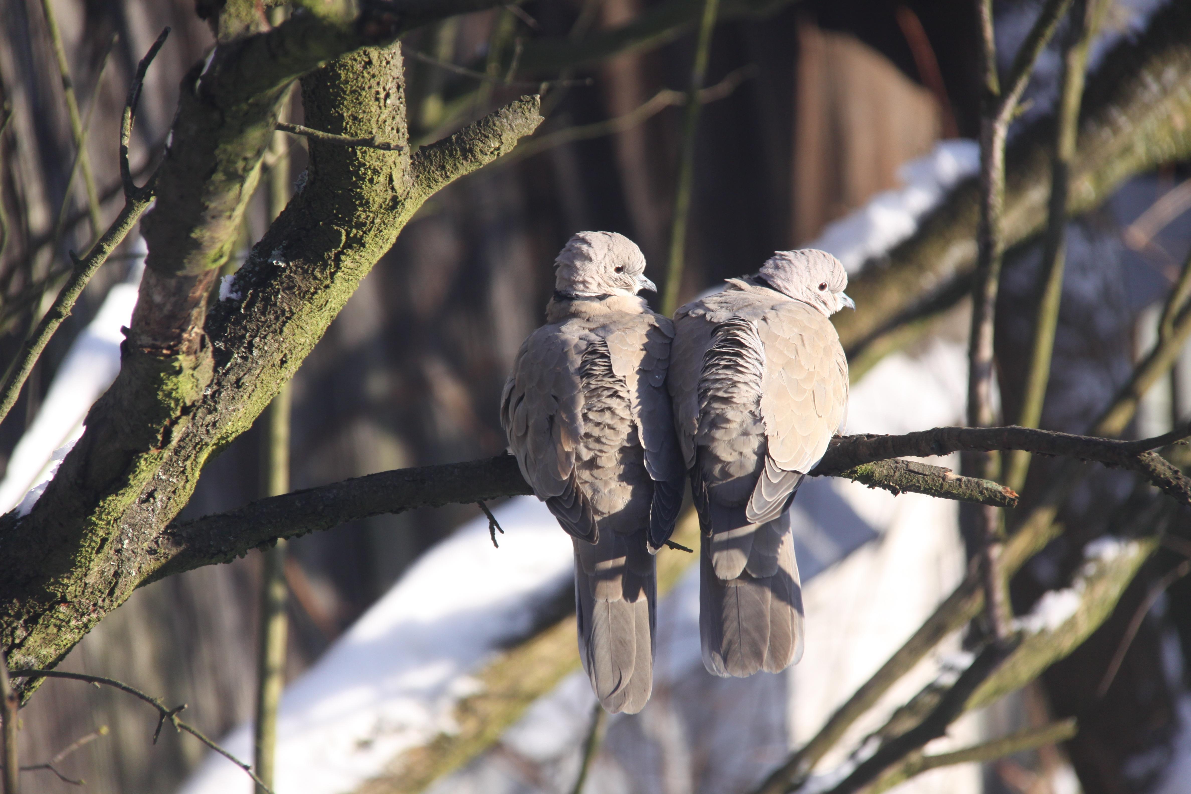 800+  Gambar Burung Hantu Di Ranting HD Paling Unik Gratis