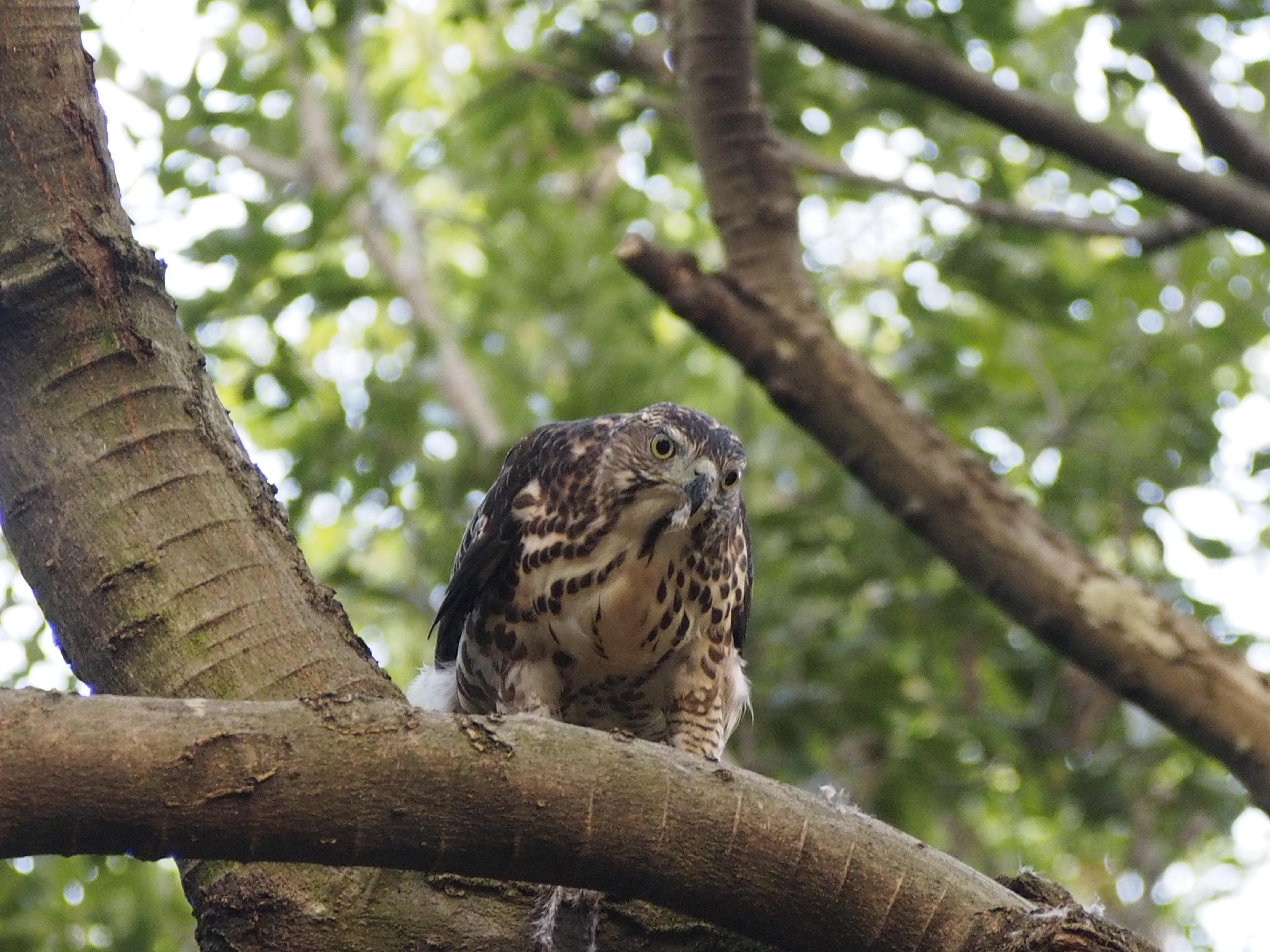 Unduh 700+  Gambar Burung Hantu Makan Elang HD Terbaru