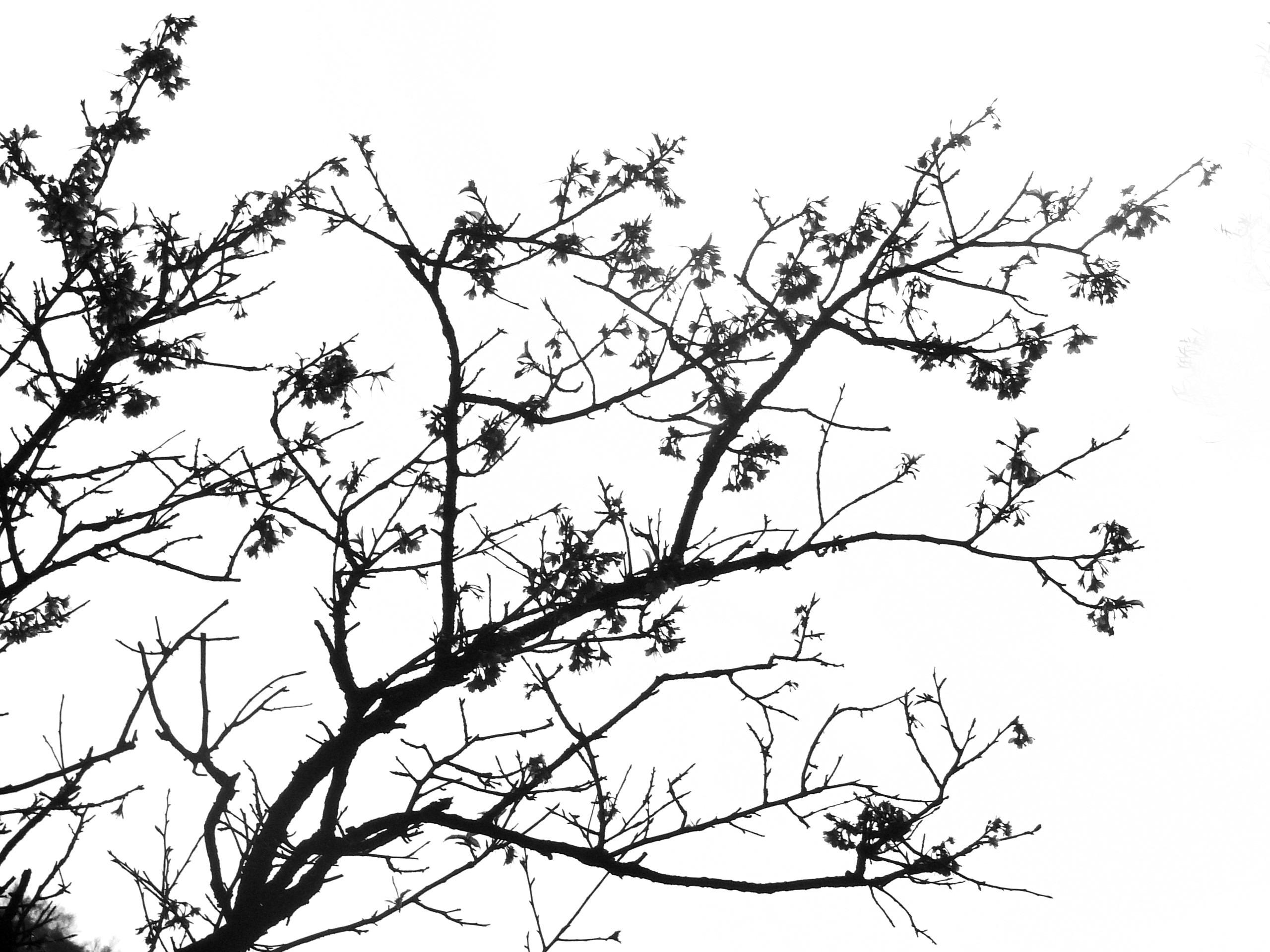 Gambar Pohon Cabang Hitam Dan Putih Bunga Bayangan