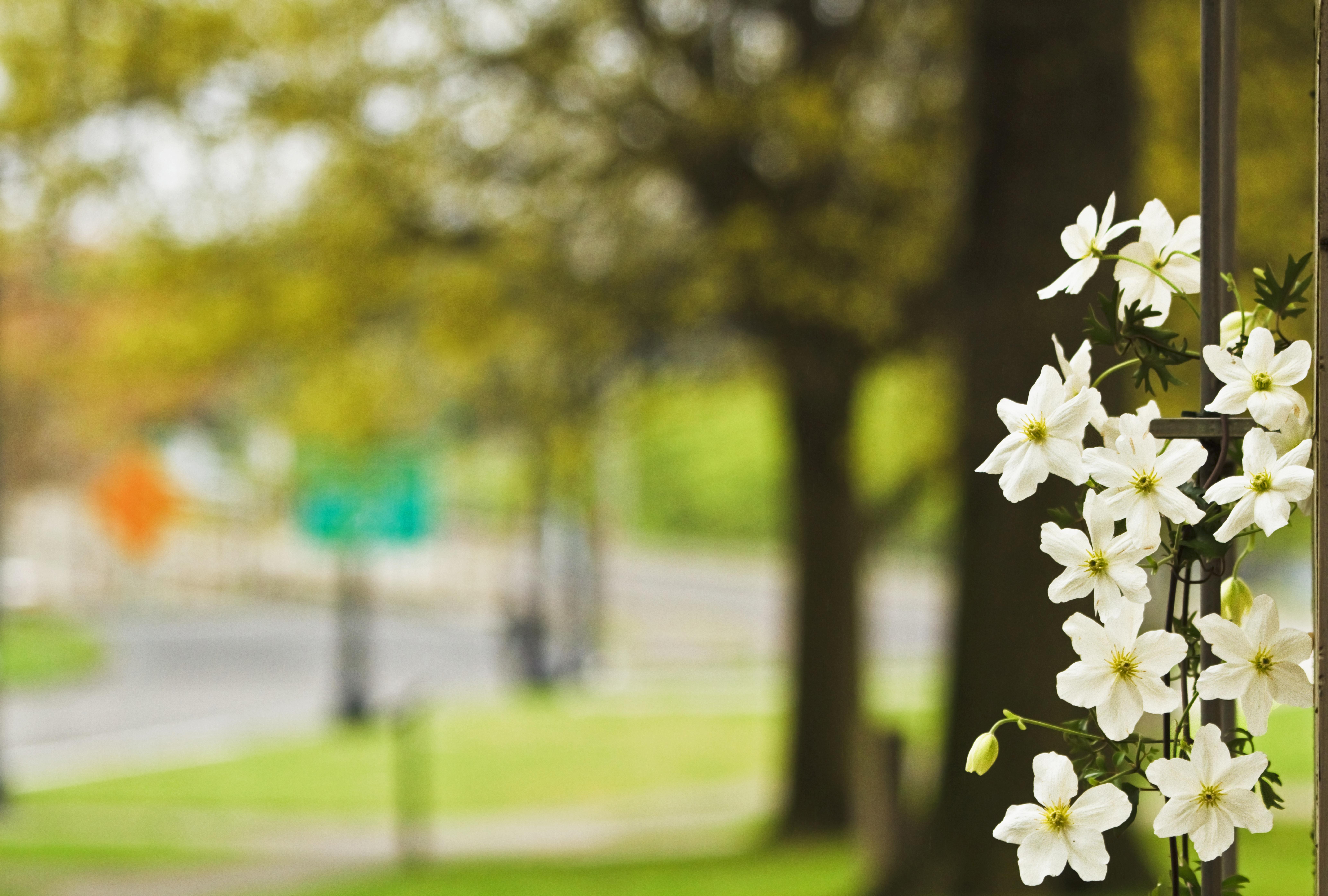 Kostenlose foto : Baum, Ast, blühen, Bokeh, Pflanze, Rebe, Brücke ...