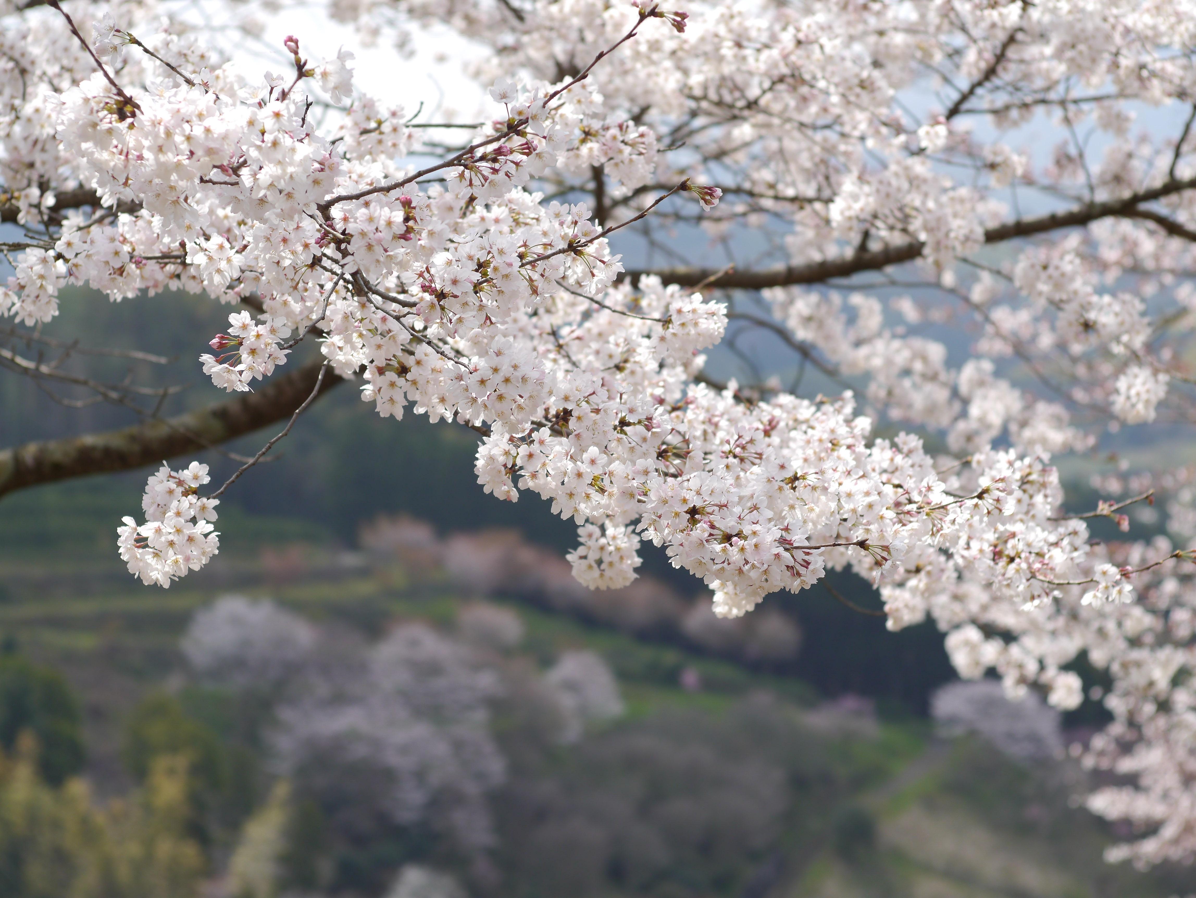 Images gratuites arbre branche montagne plante gel aliments printemps produire japon - Arbre rose japon ...
