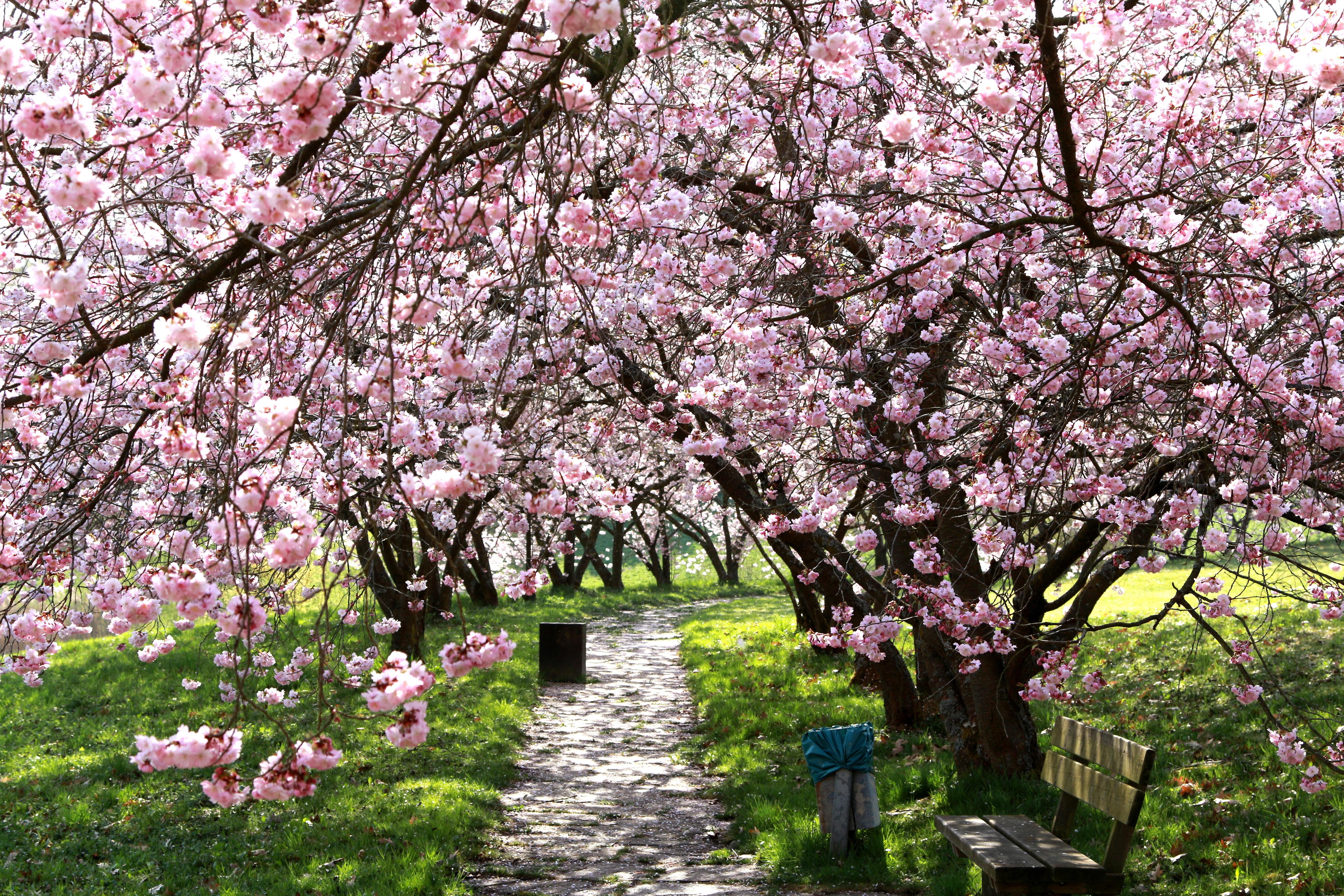 Дерево вишни в цвету фото