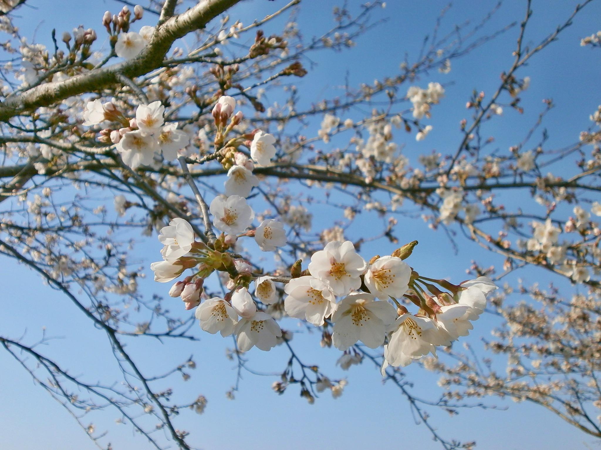 процессе заливки весенние цветущие деревья фото и названия предлагаем как