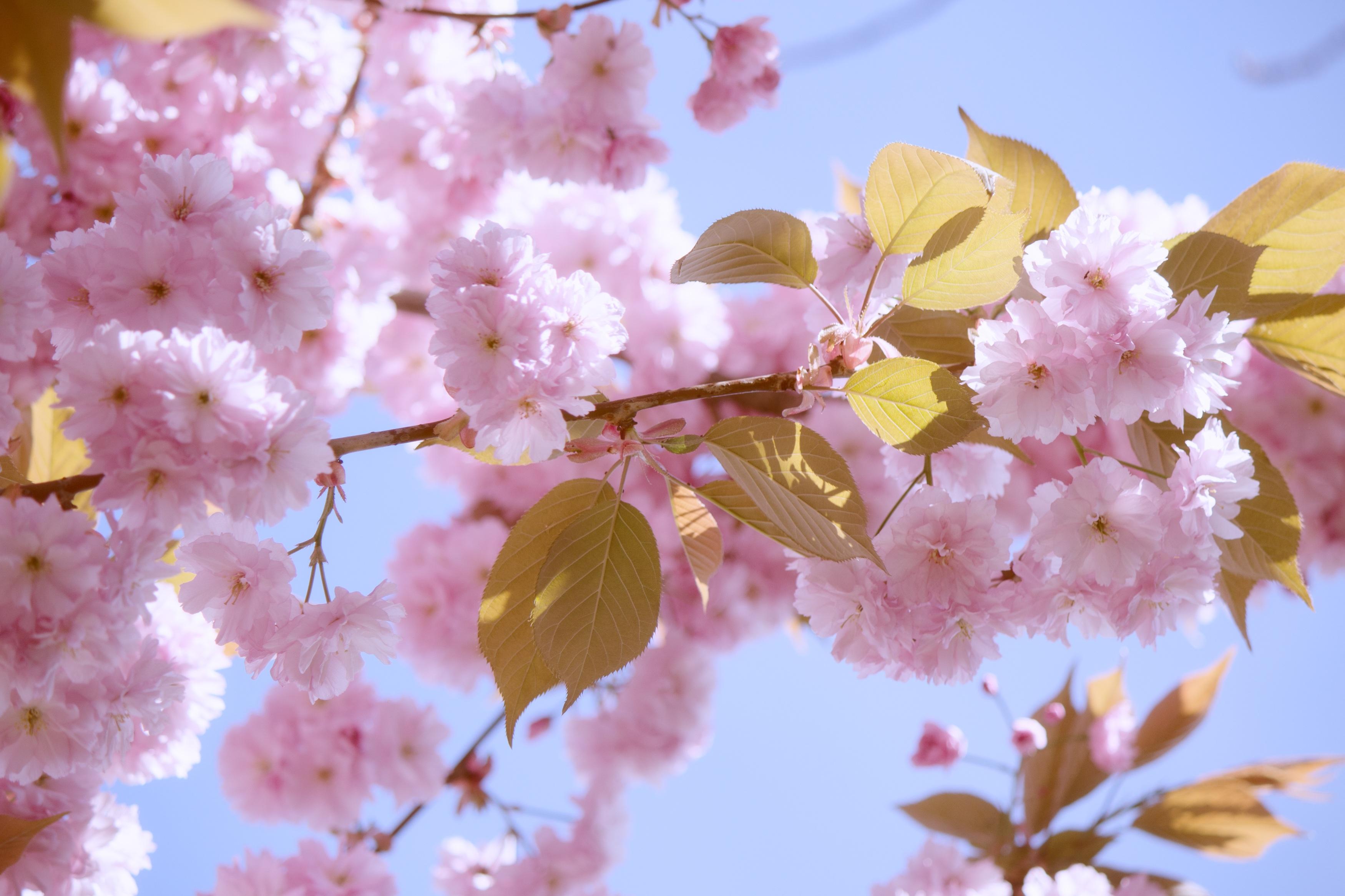 bakgrundsbilder tr228d gren blomma kronblad mat v229r