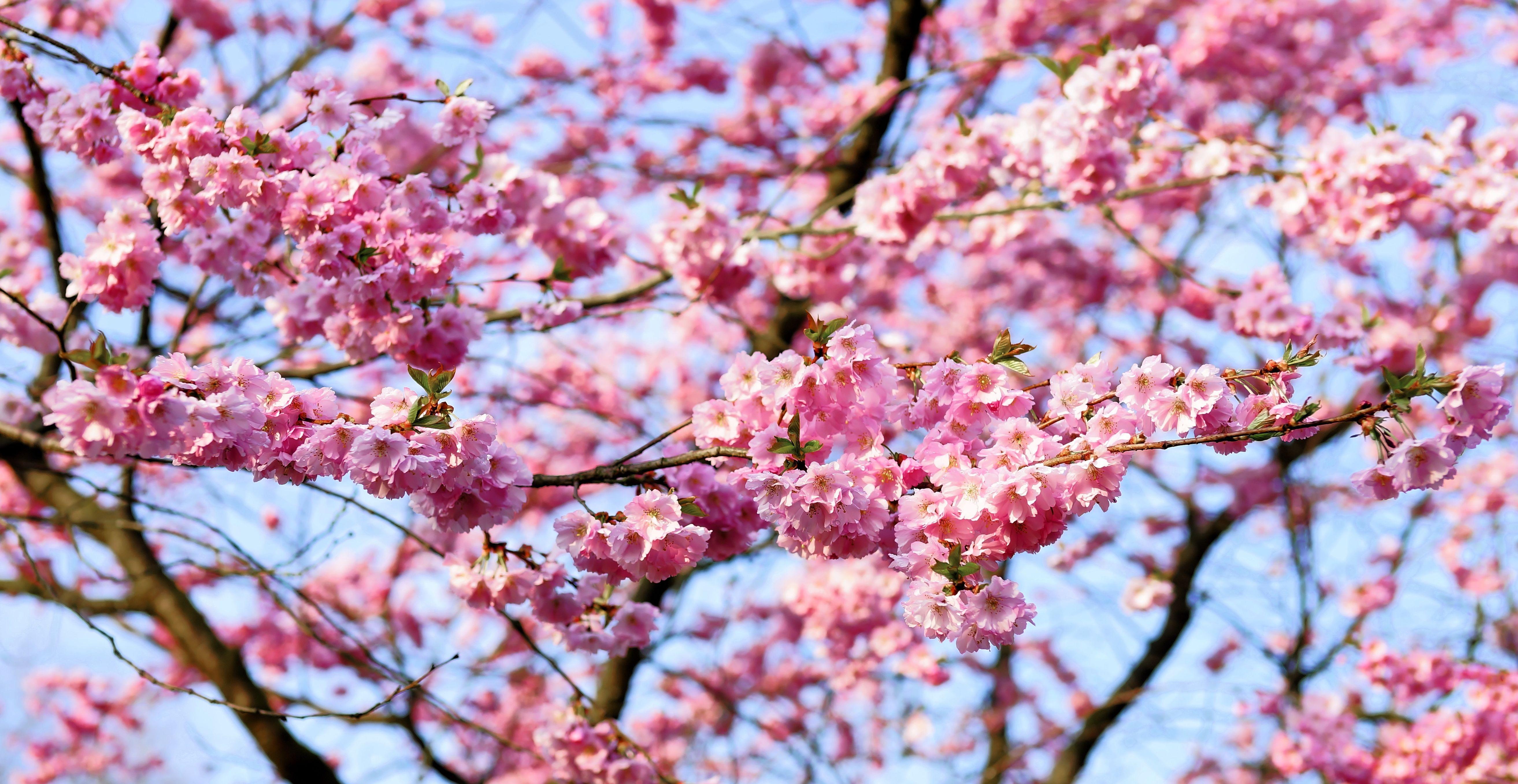 Free Images Tree Branch Flower Petal Bloom Food Spring