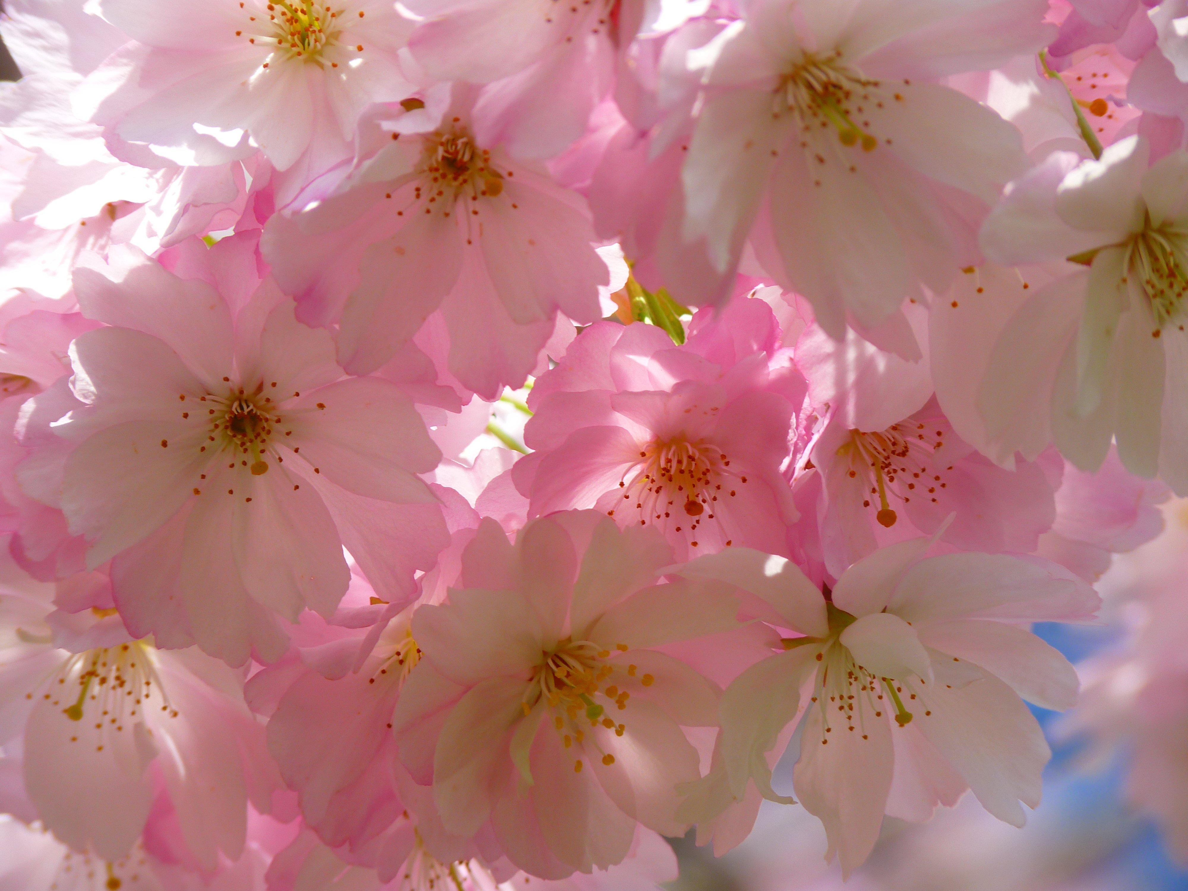 Free Images : tree, branch, flower, petal, bloom, pink ...