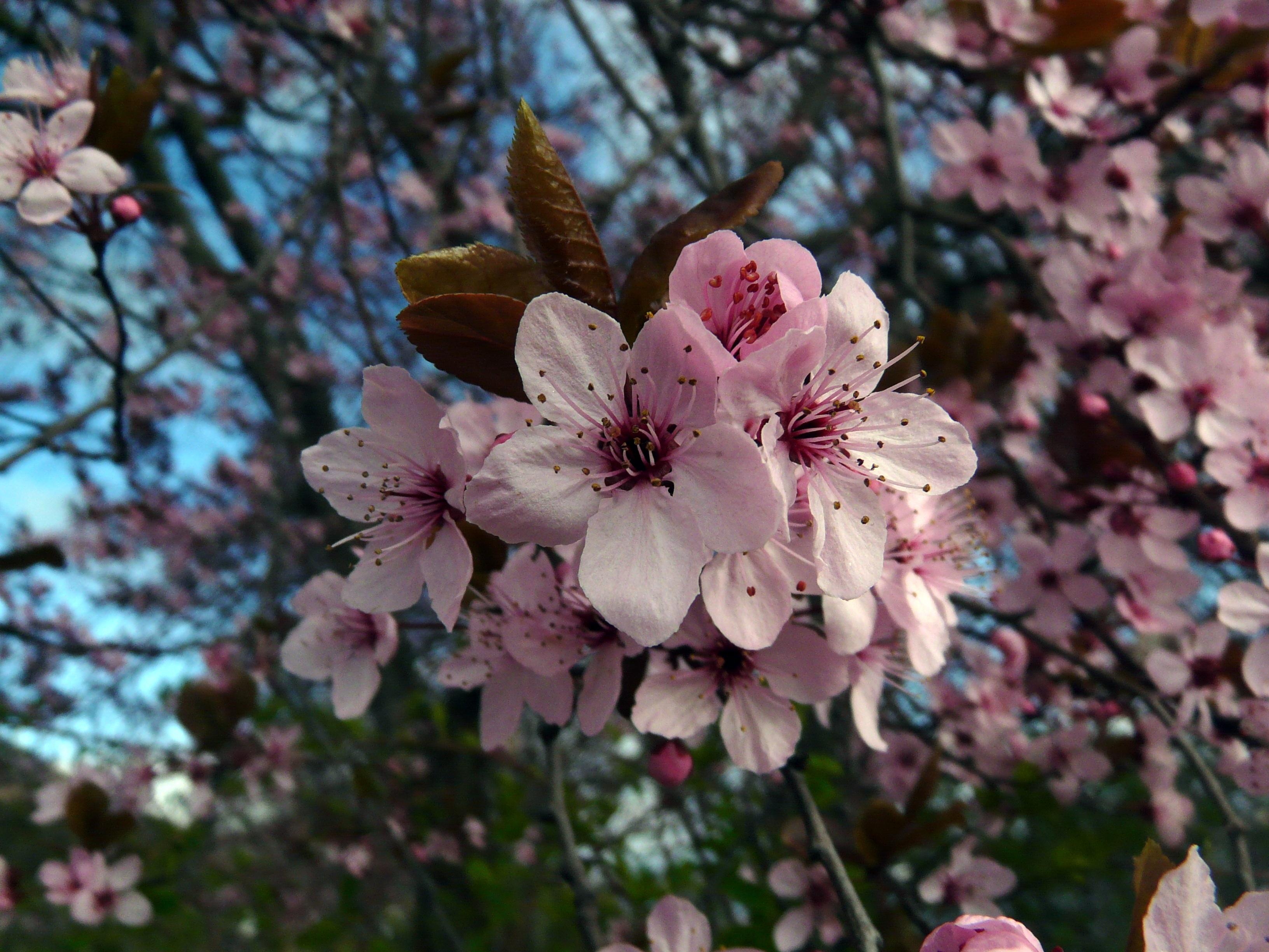 Immagini belle albero ramo fiorire petalo fioritura for Pianta di ciliegio