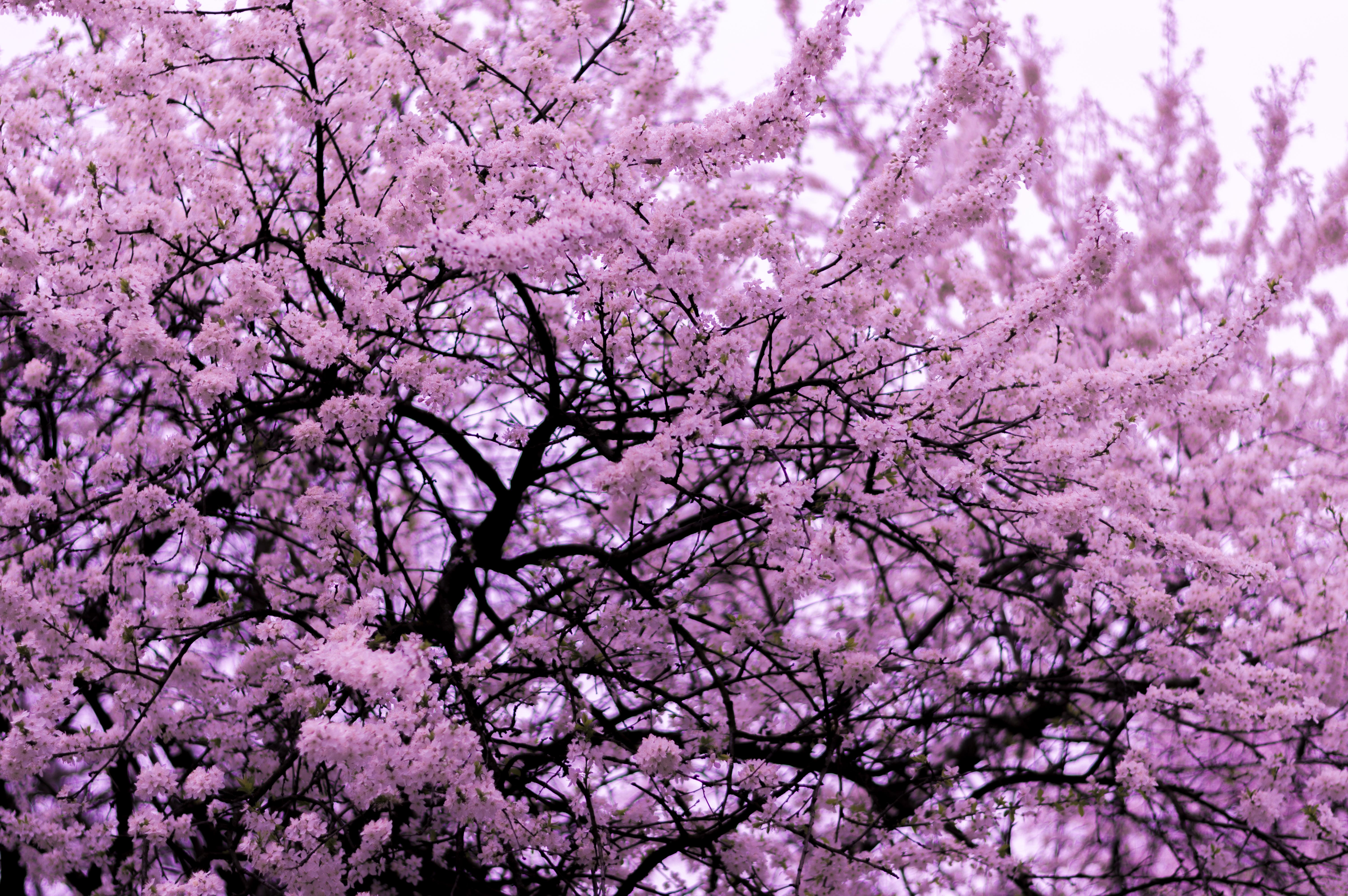 даже картинка сакуры дерево сиреневая лучше