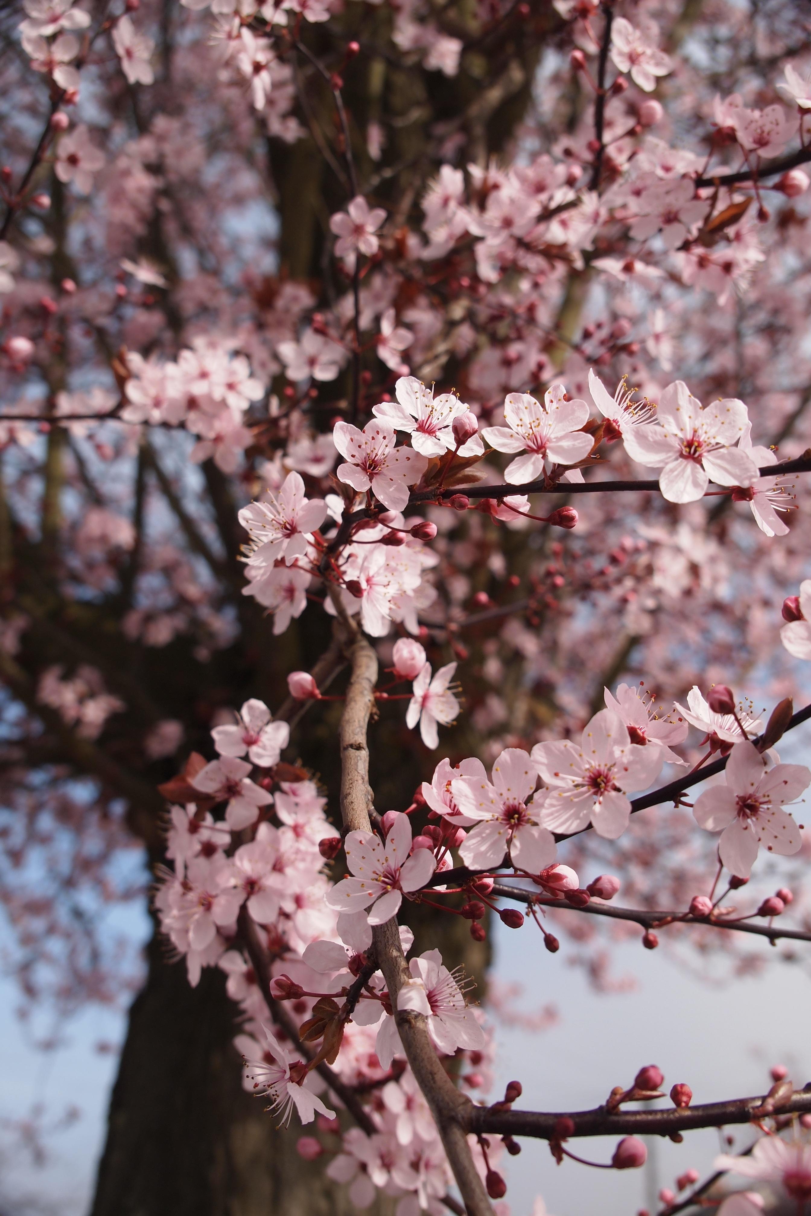Free Images Tree Branch Flower Petal Food Spring