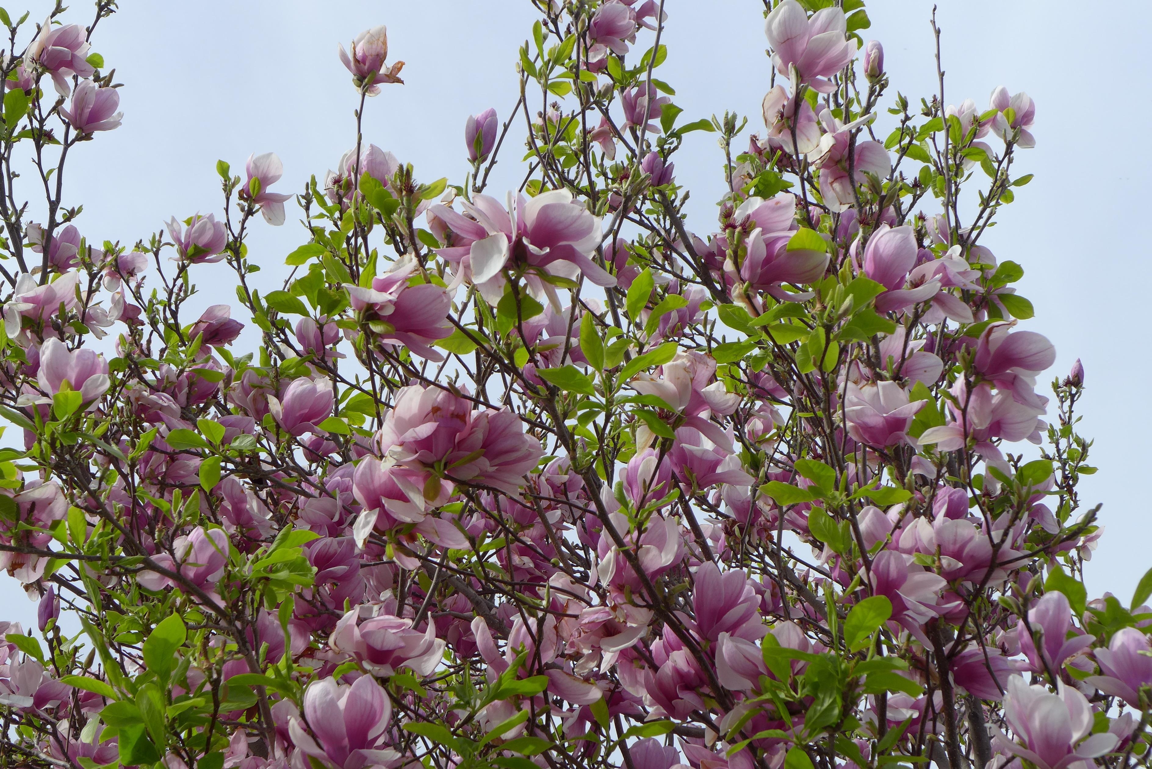 Fotos gratis rbol rama p talo primavera produce for Arboles de flores para jardin