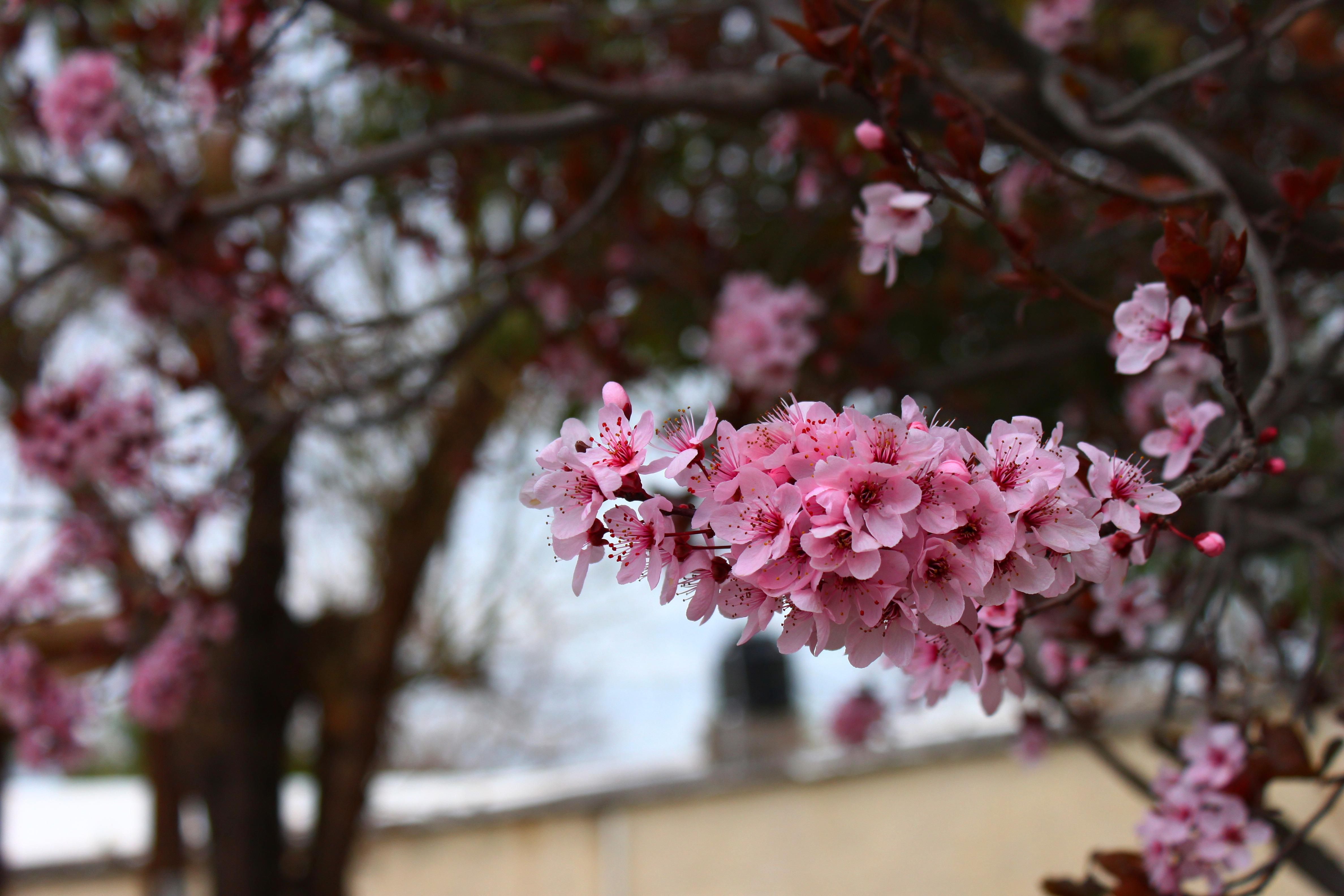 Красивые картинки цветет вишня