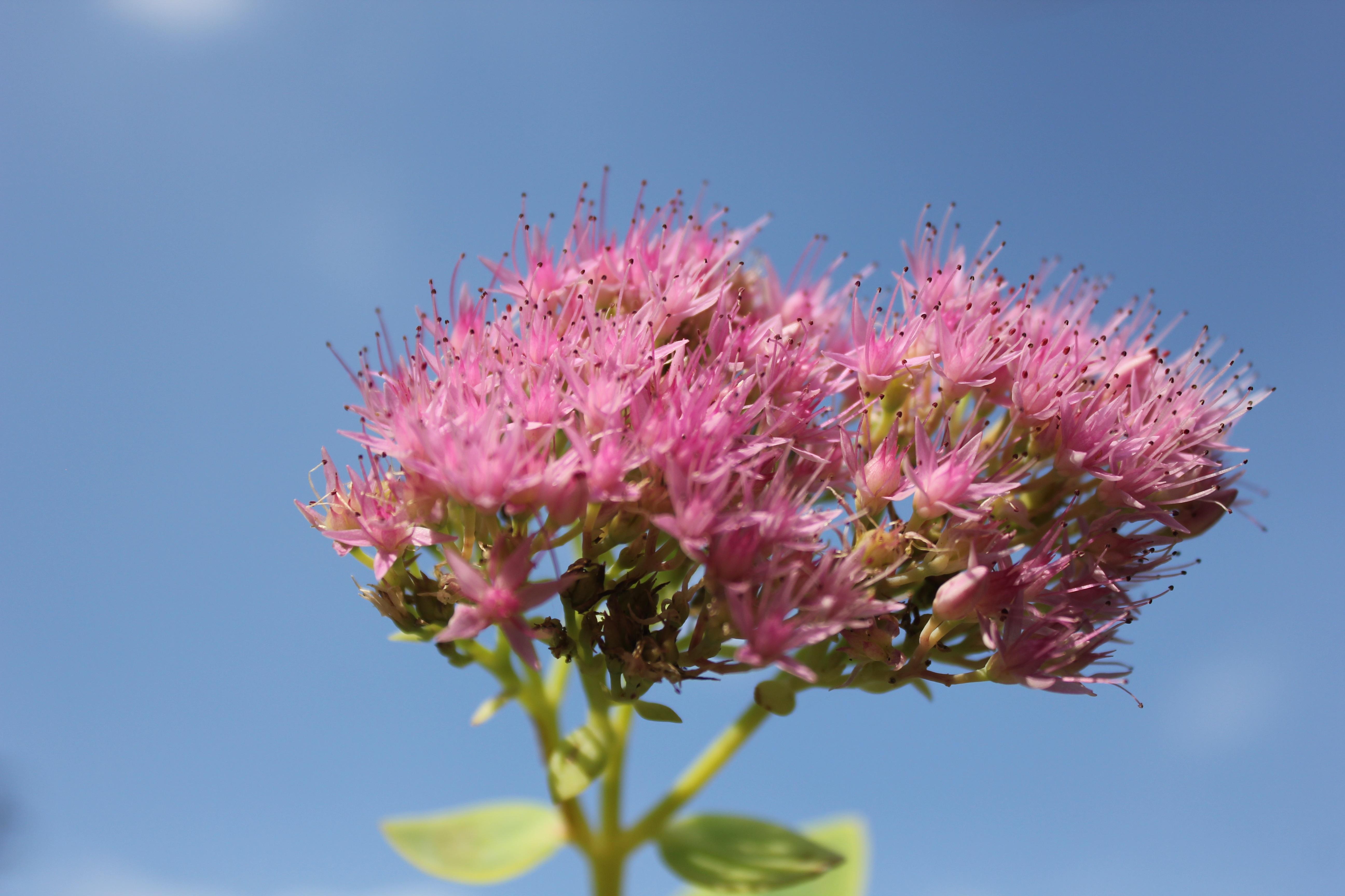 Gambar Pohon Cabang Mekar Menanam Daun Bunga Surga Botani Biru Berwarna Merah Muda Flora Bunga Liar Bunga Ungu Belukar Fotografi Makro Tanaman Berbunga Tanaman Tanah 5184x3456 482330 Galeri Foto Pxhere