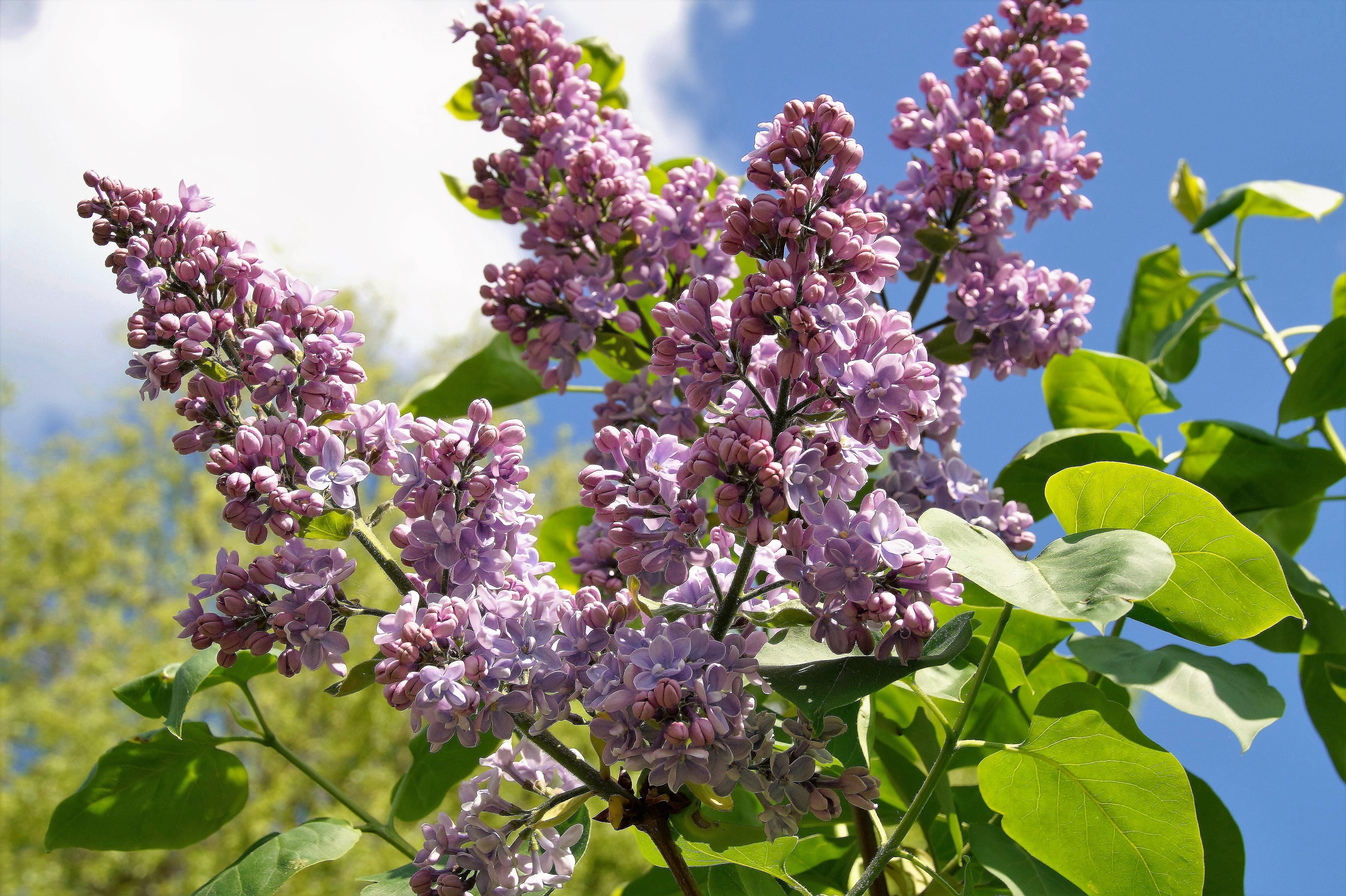 images gratuites : arbre, branche, fleur, violet, printemps