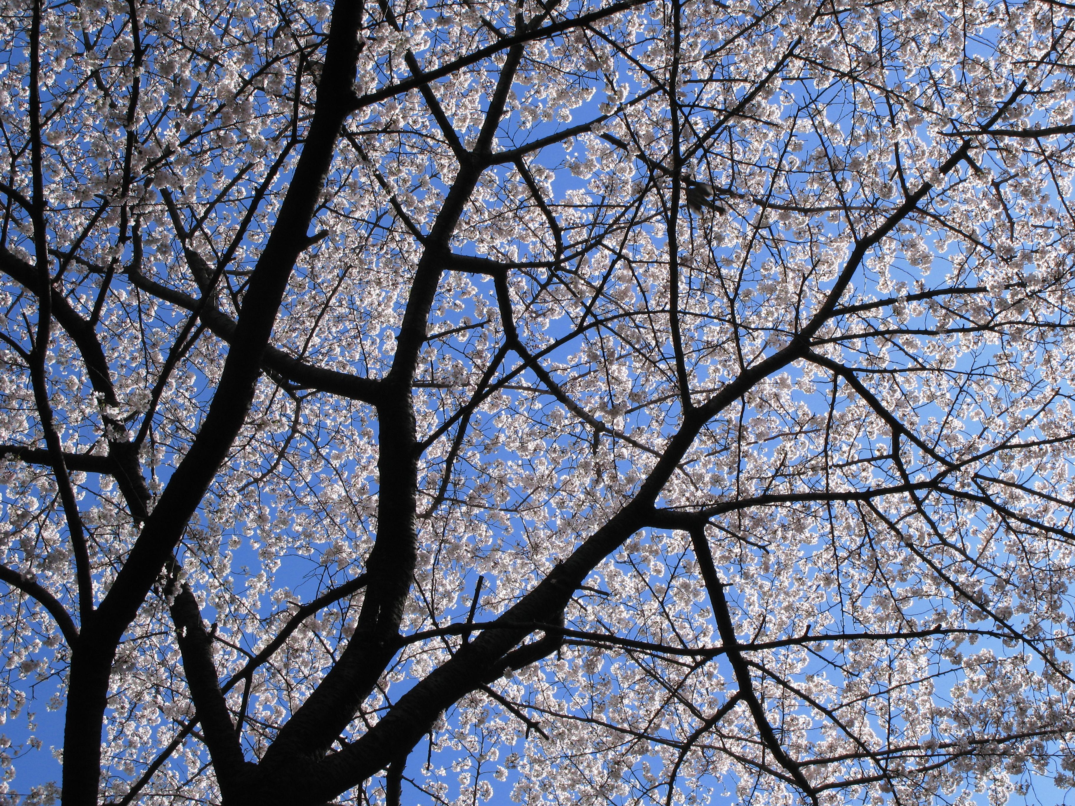 Download 98+ Gambar Bunga Sakura Keren Gratis Terbaru