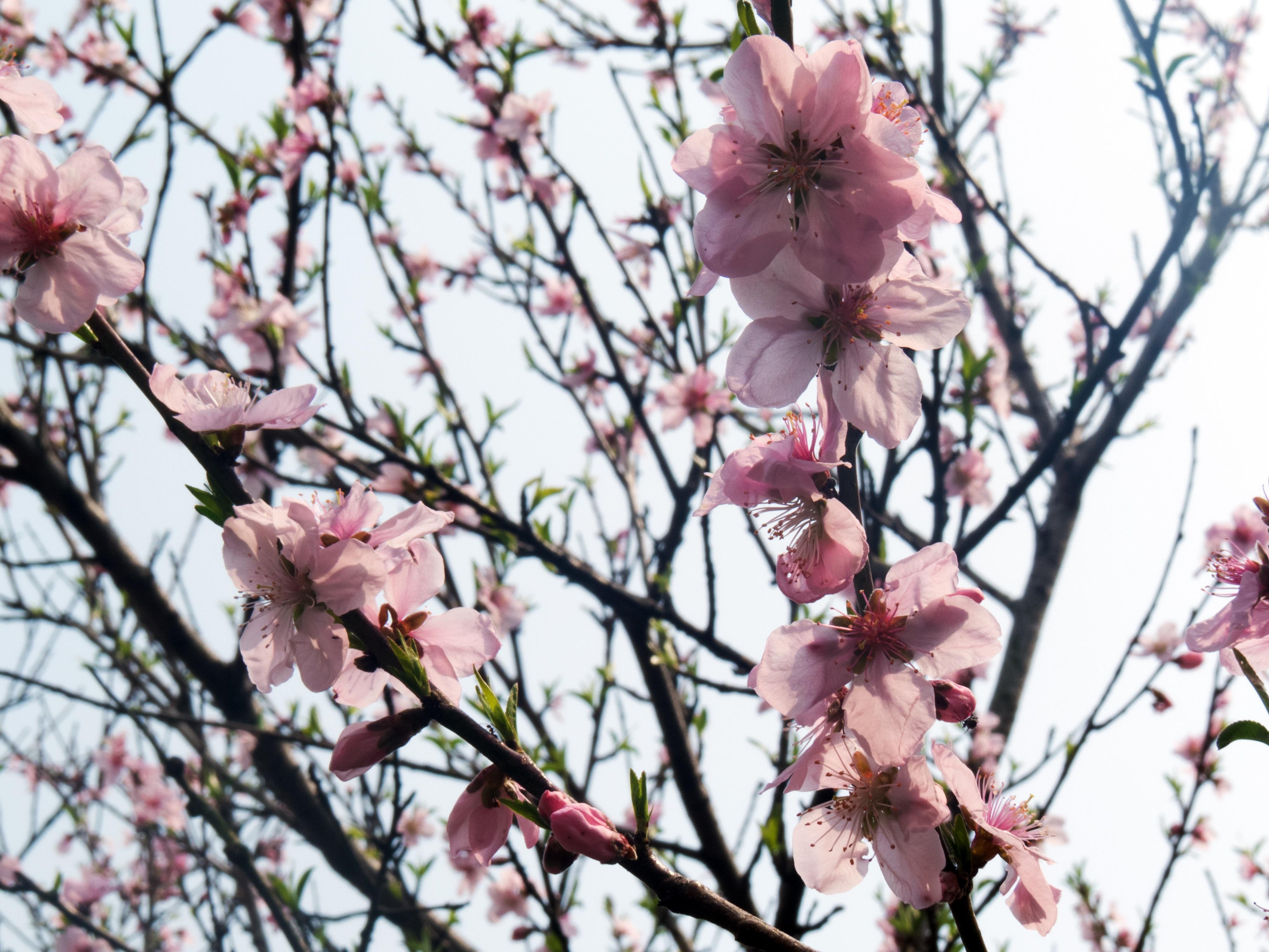 медицинской картинка цветущего персиками который поможет