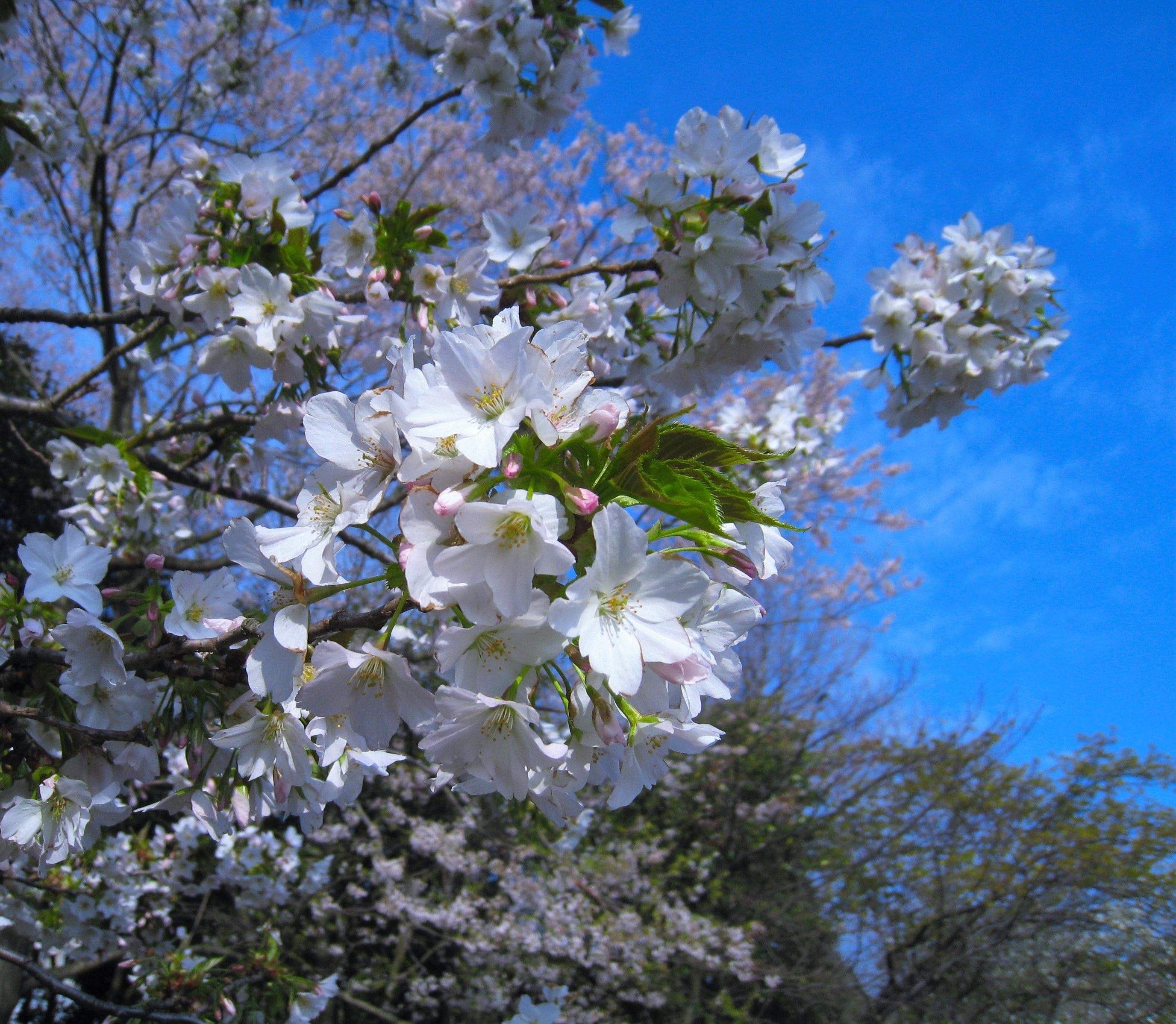 images gratuites arbre branche printemps produire japon flore fleur de cerisier arbuste. Black Bedroom Furniture Sets. Home Design Ideas