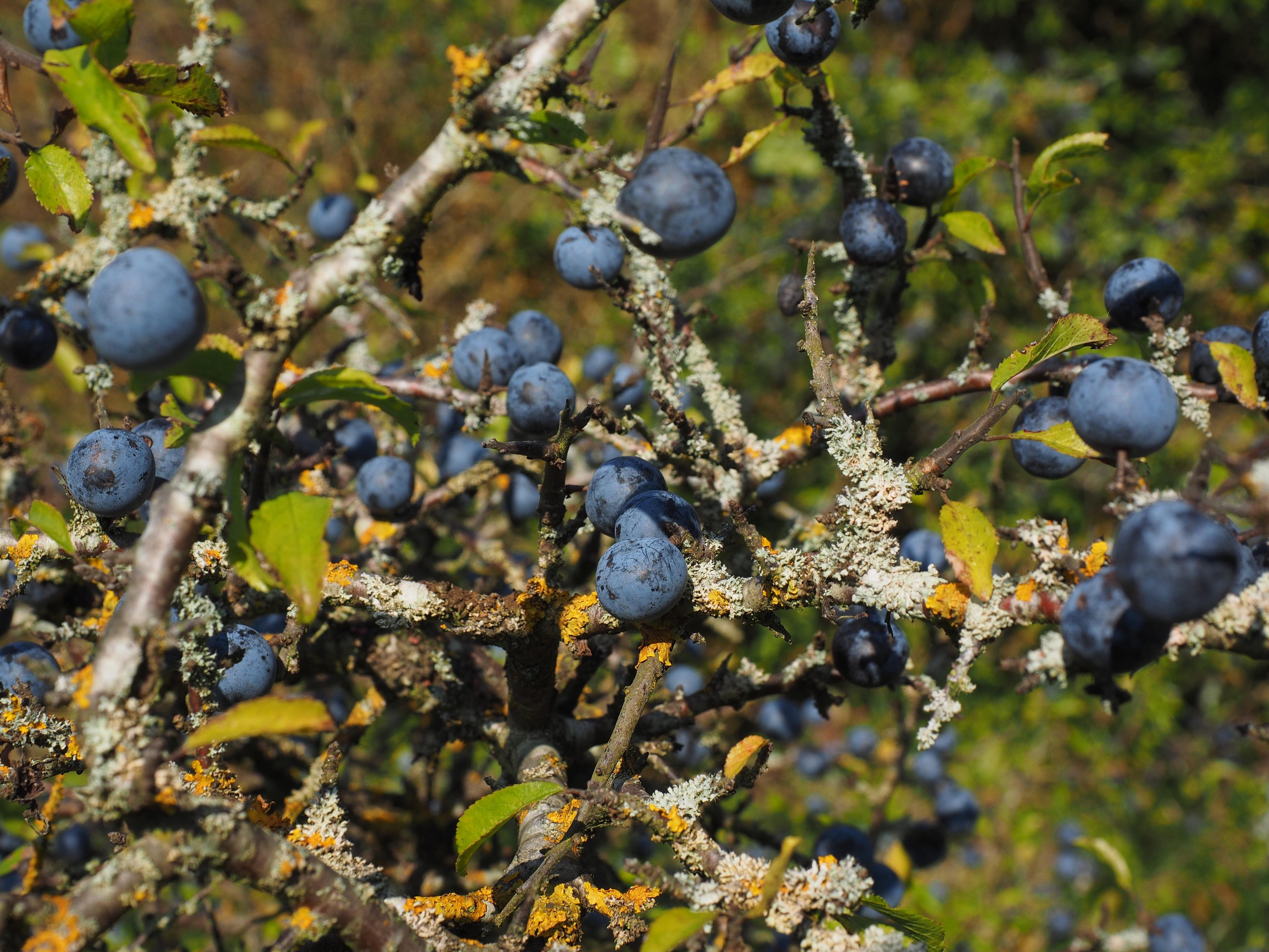 Images gratuites arbre branche fleur fruit baie for Plante arbuste