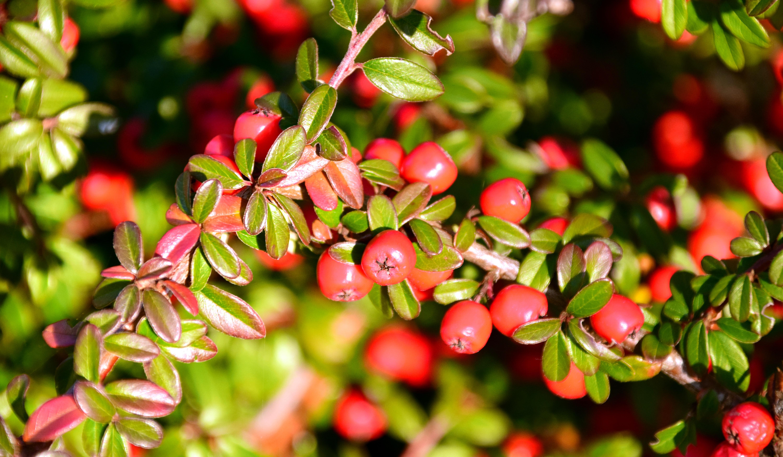 Fotos gratis rbol rama flor baya arbusto comida for Arbustos de hoja caduca