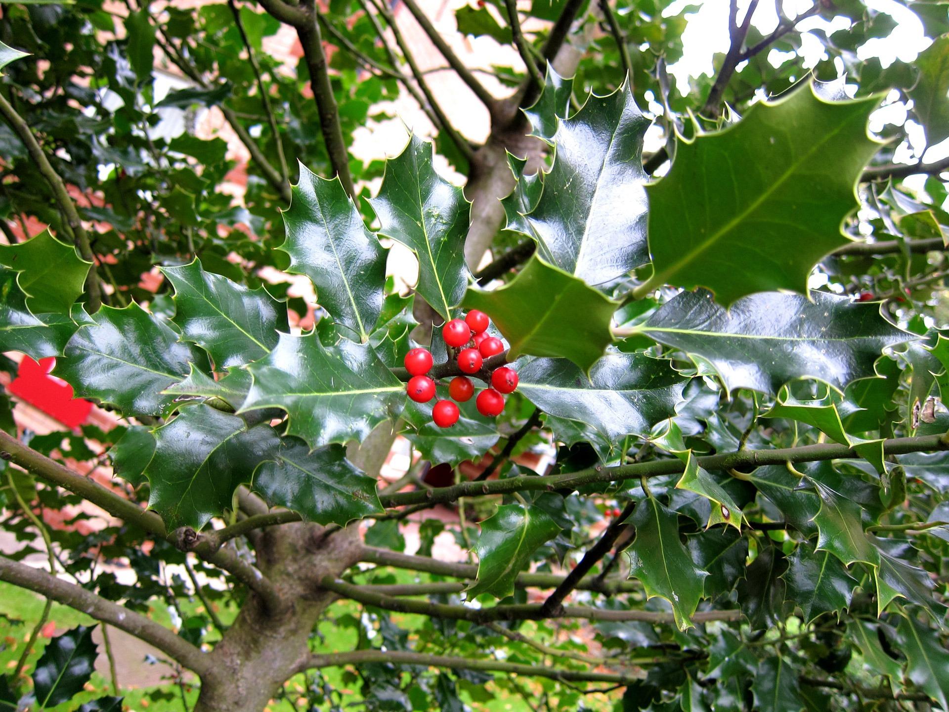 arbuste a fleur rouge
