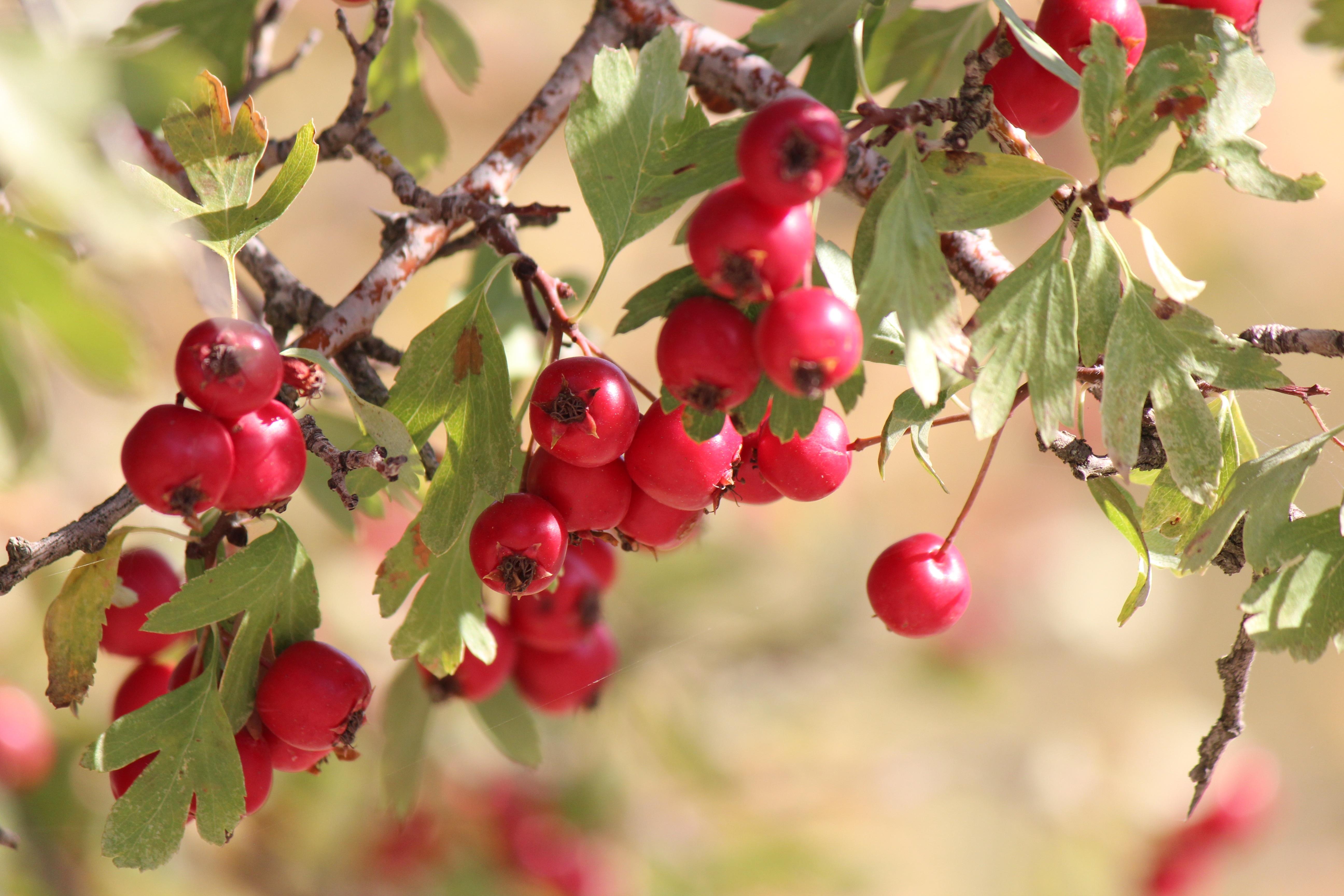 Images gratuites arbre branche fleur fruit baie feuille aliments rouge produire l - Arbre feuille rouge fruit rouge ...