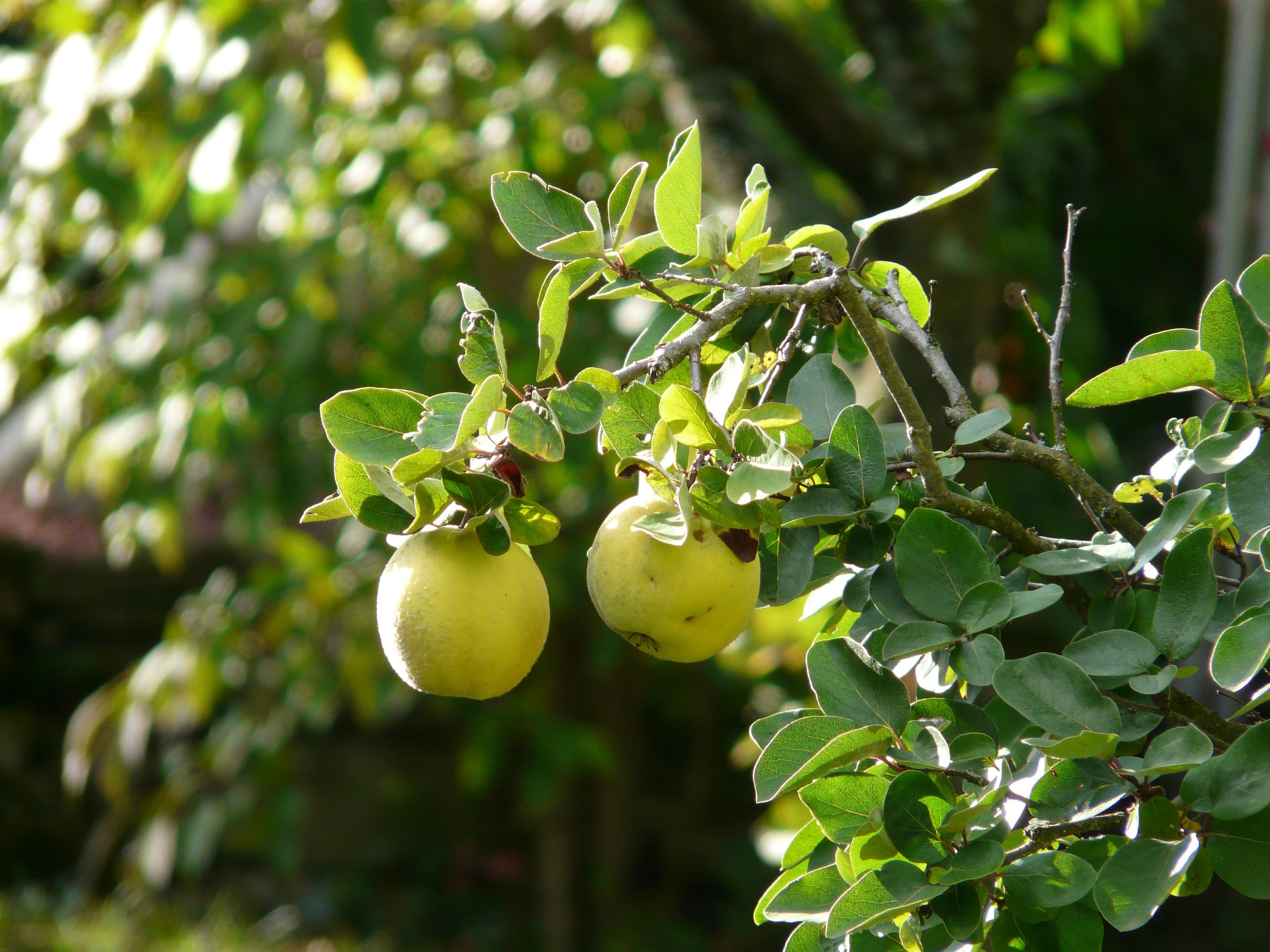 Kostenlose Foto Baum Ast Blühen Beere Blatt Blume Reif