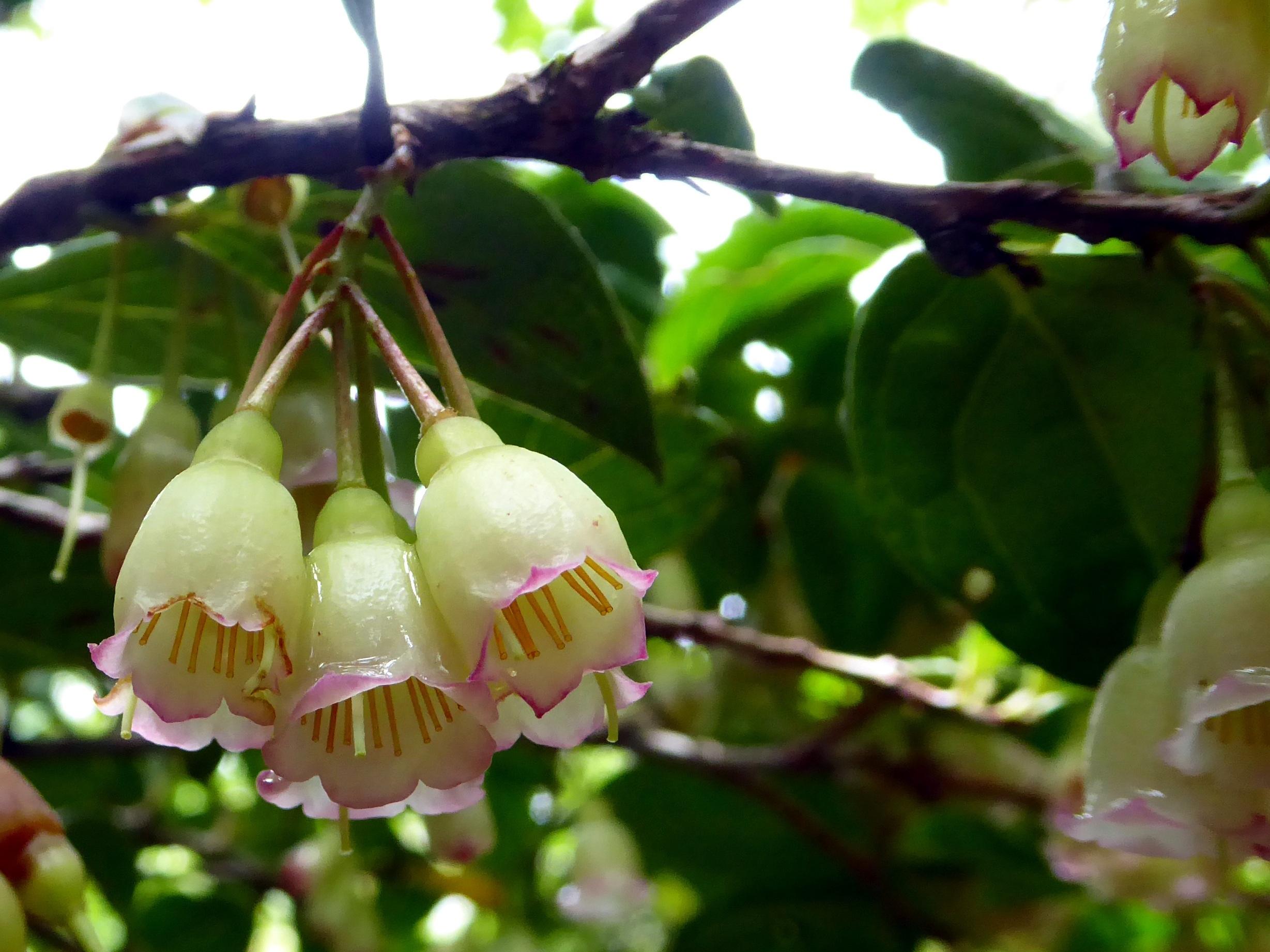 images gratuites arbre branche fleur fruit cloche. Black Bedroom Furniture Sets. Home Design Ideas
