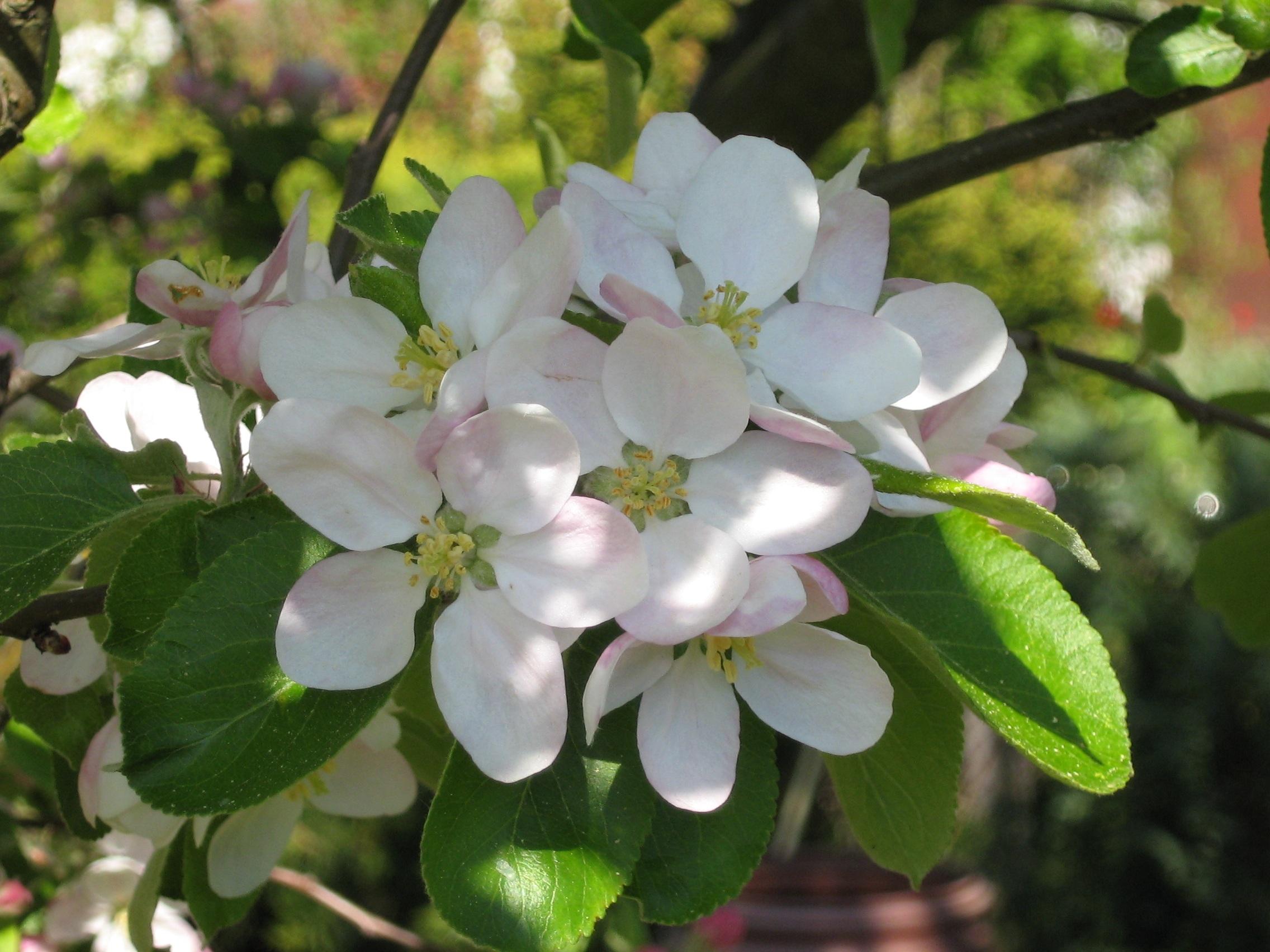 ваше фотографии цветущих фруктовых деревьев коробку вложено подробное