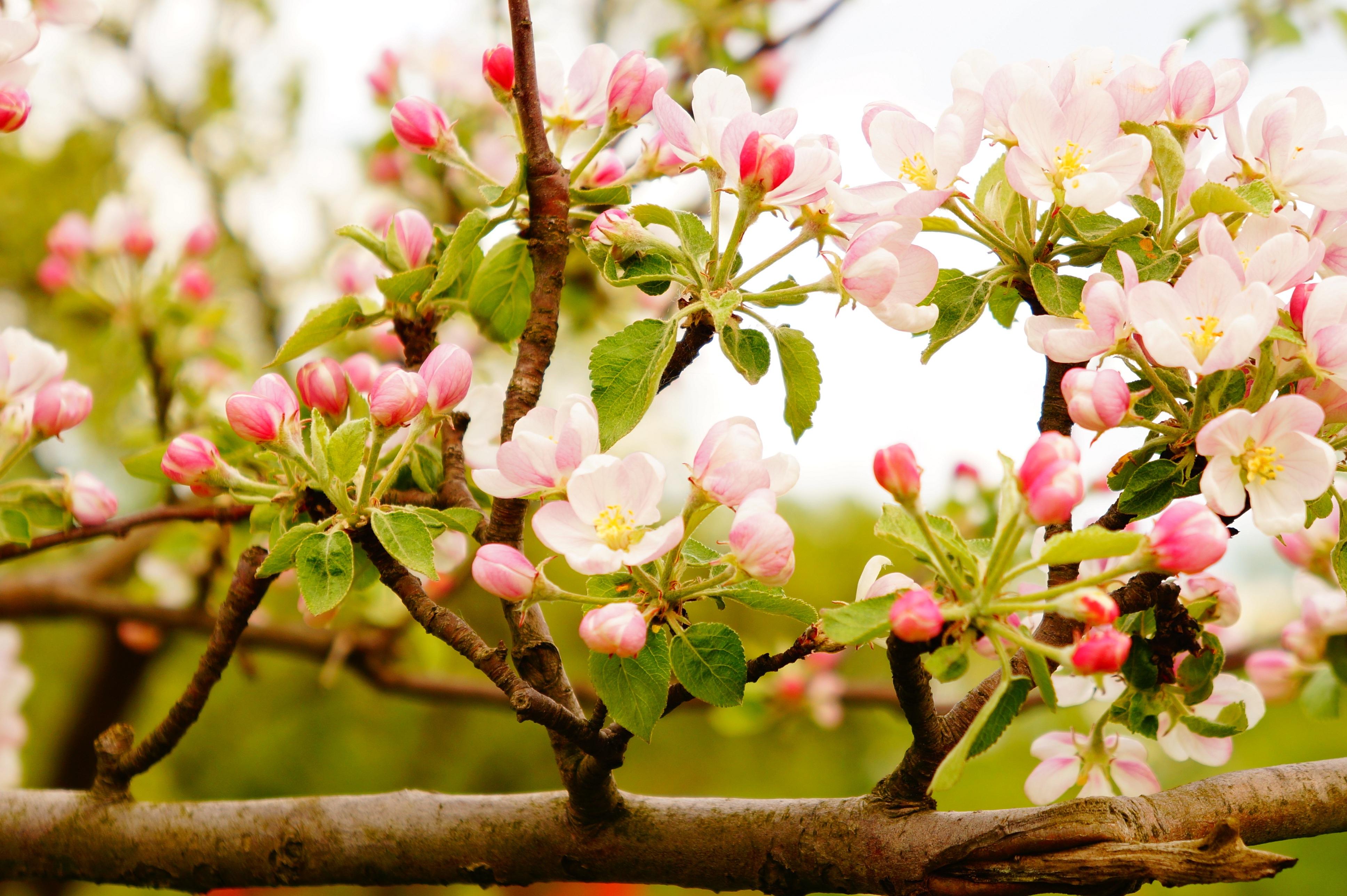 удара было, фотографии цветущих фруктовых деревьев позволяет одним