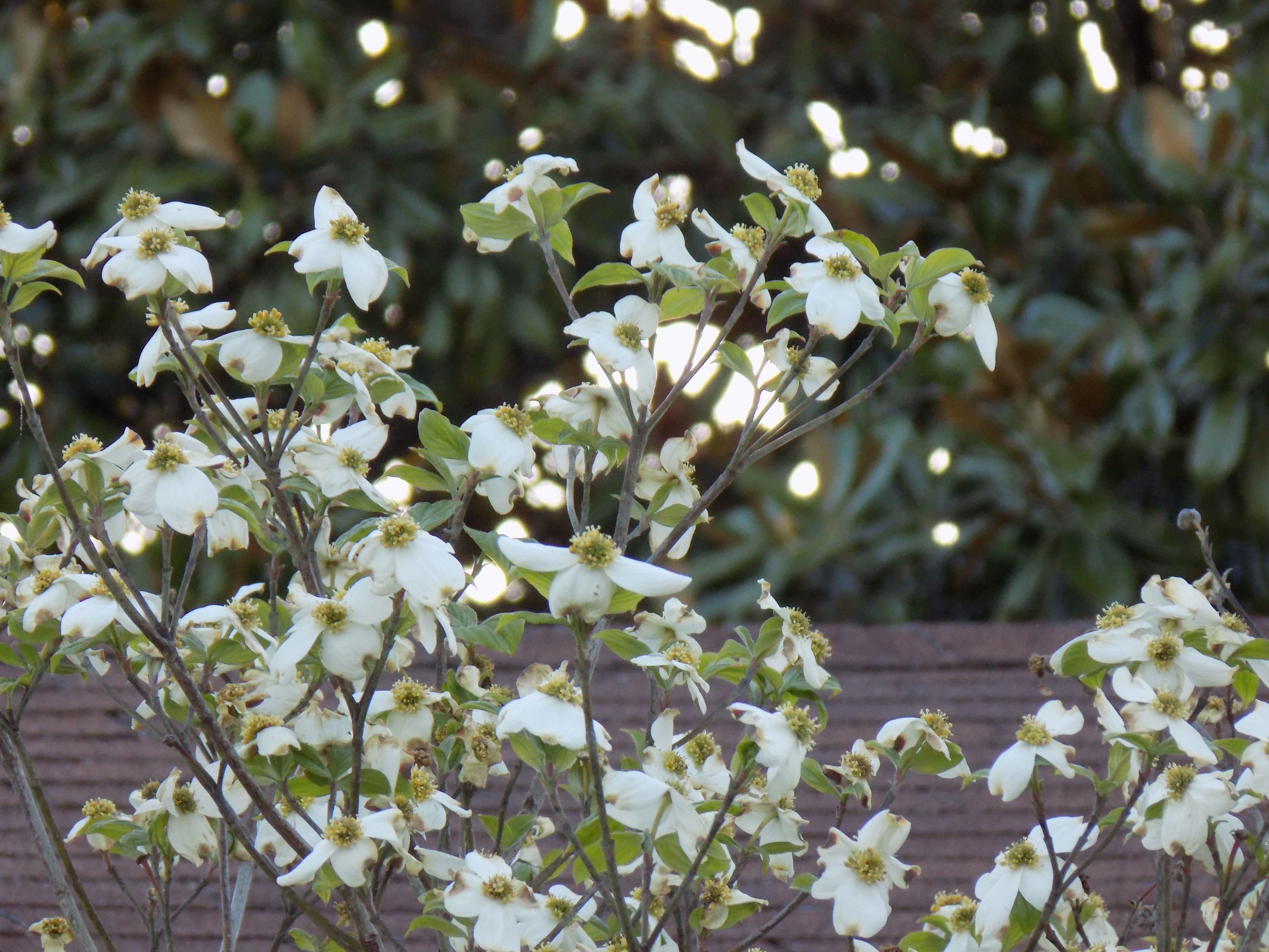 images gratuites : arbre, branche, fleur, fruit, aliments, printemps