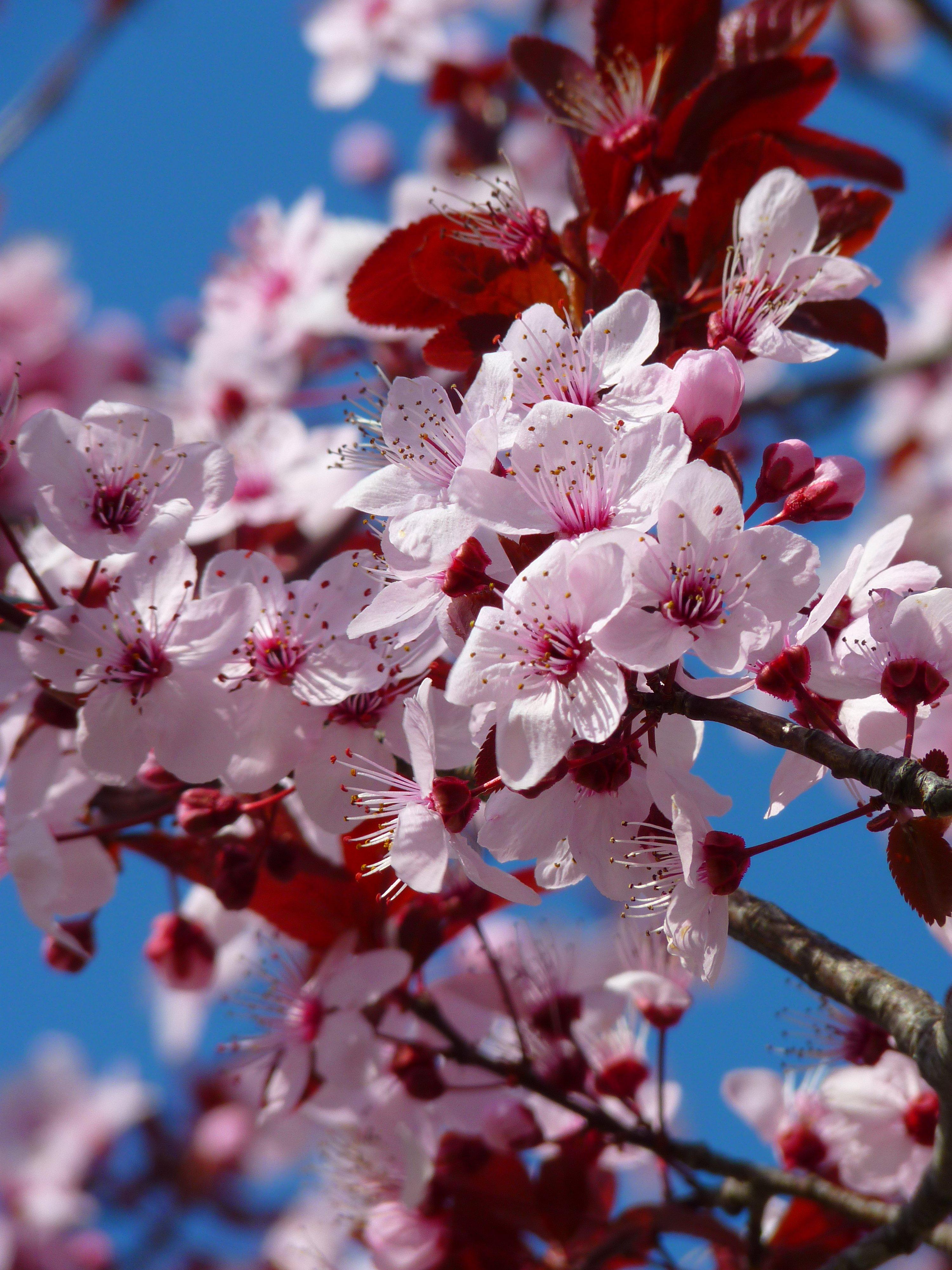 Фото с цветущими вишнями они могут