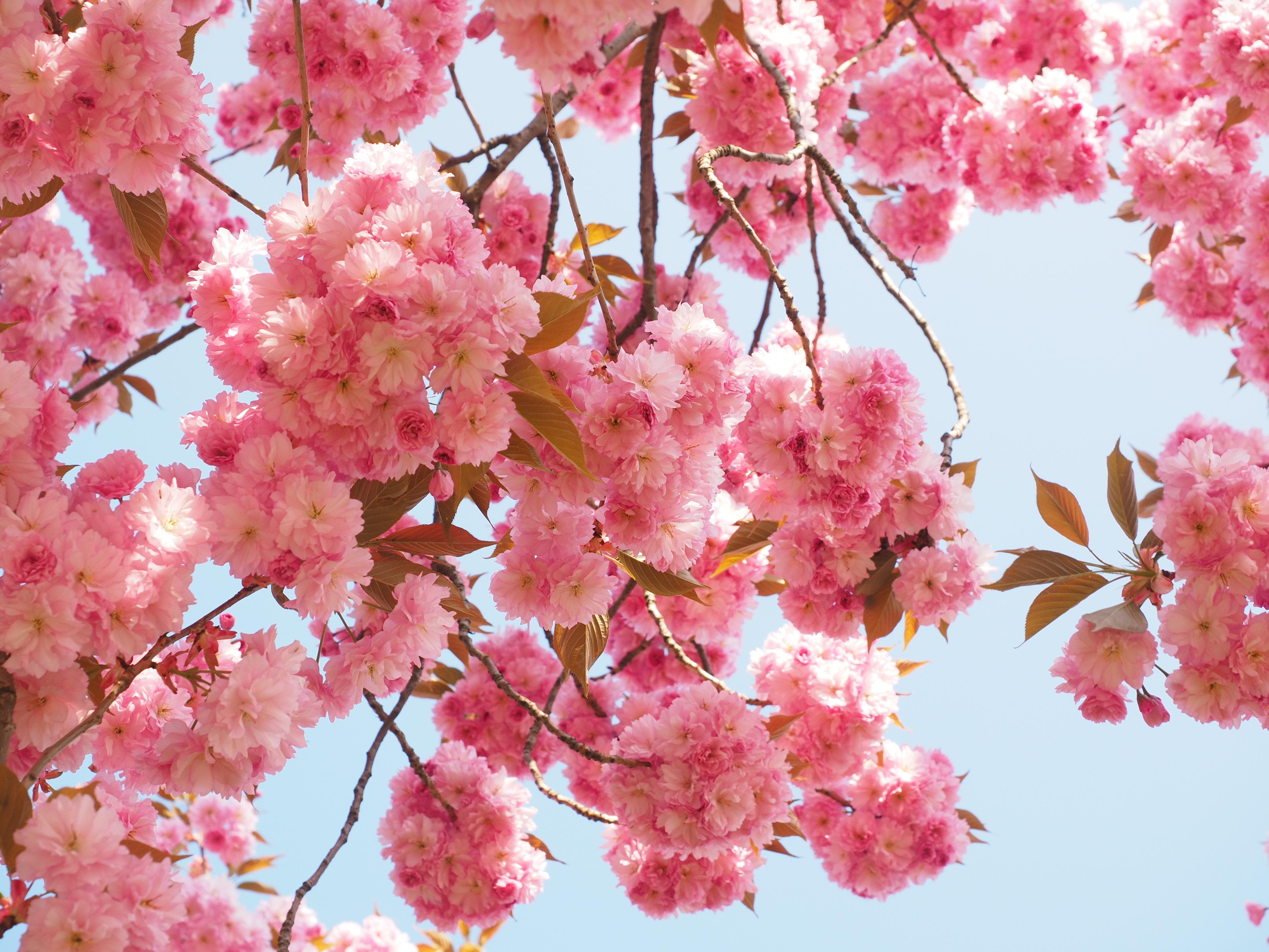 Arbol De Cerezo Japones fotos gratis : árbol, rama, fruta, pétalo, florecer, comida