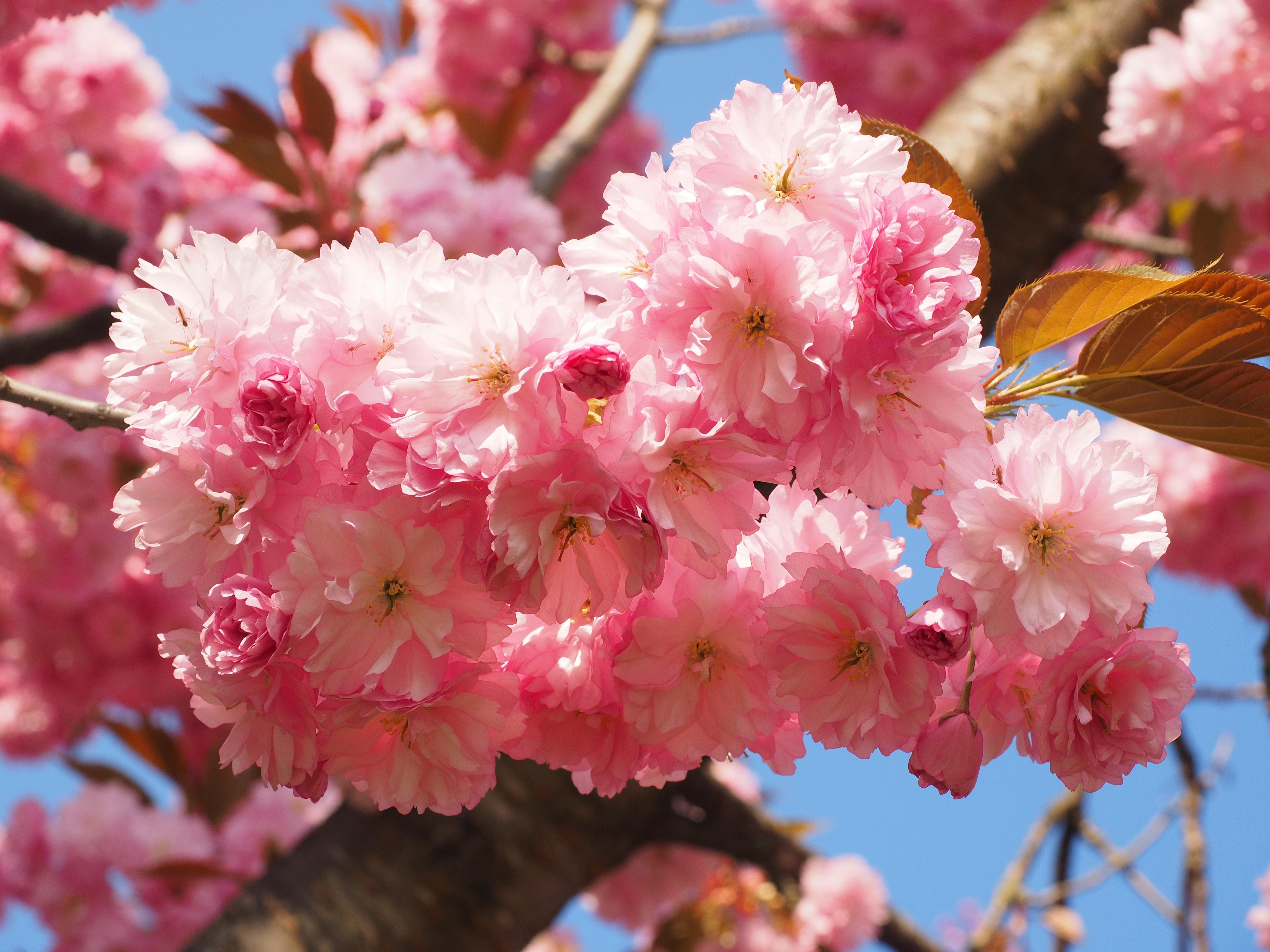 Free Images Tree Branch Fruit Flower Petal Bloom Food
