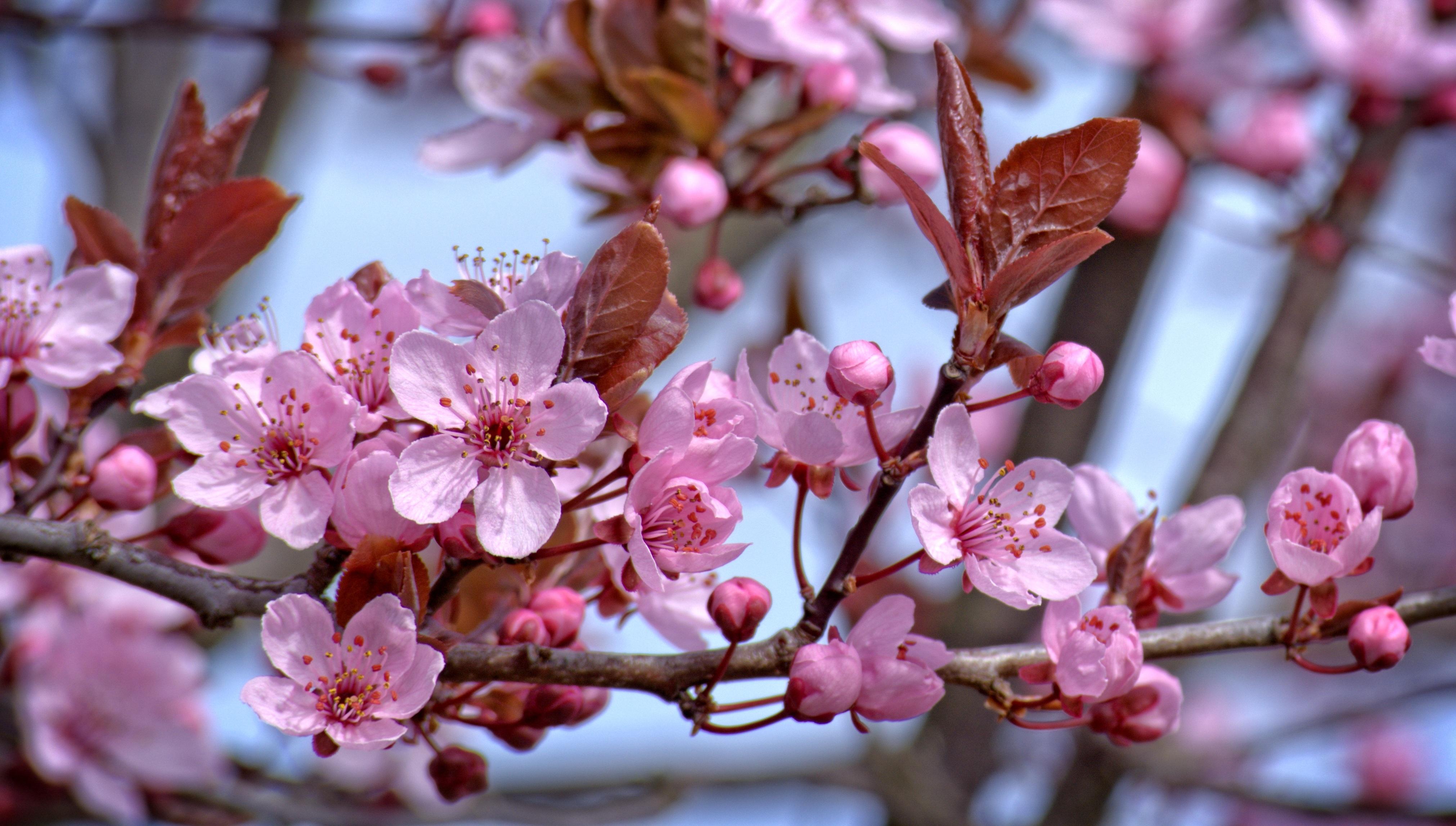 Immagini belle albero ramo fiorire frutta petalo for Pianta di ciliegio