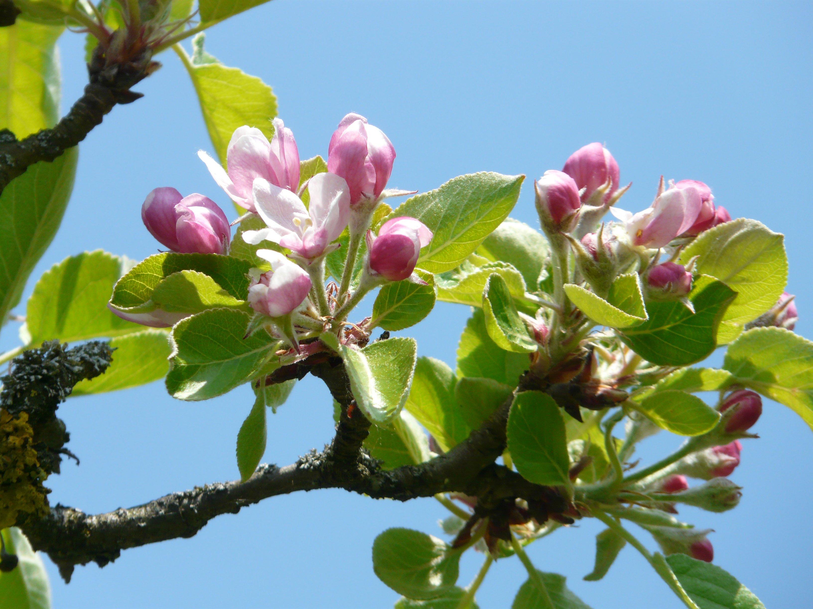 Images gratuites arbre branche fleur fruit feuille for Arbres a feuilles persistantes