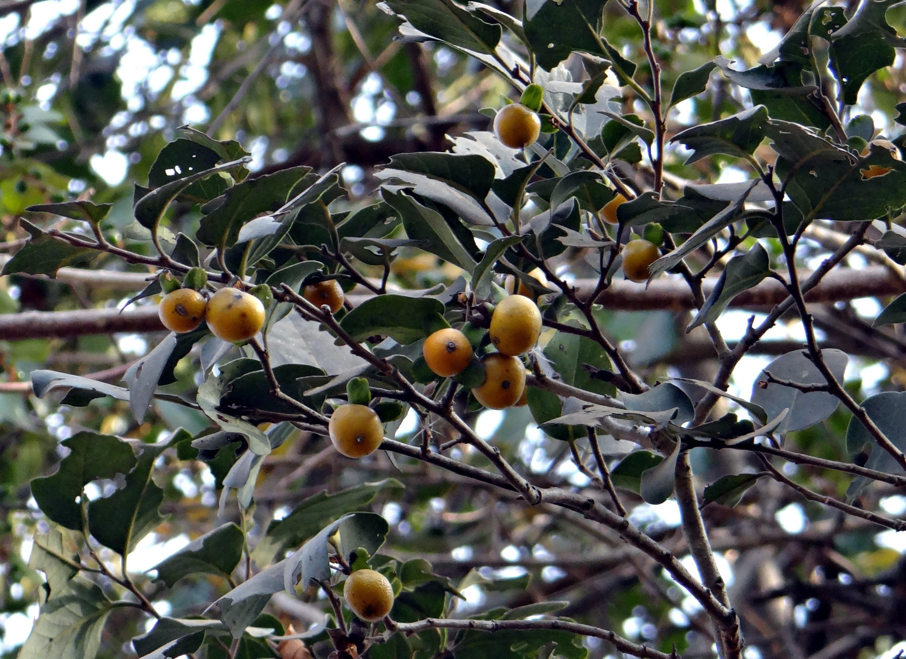 Reife Blätter des Ebenholzes