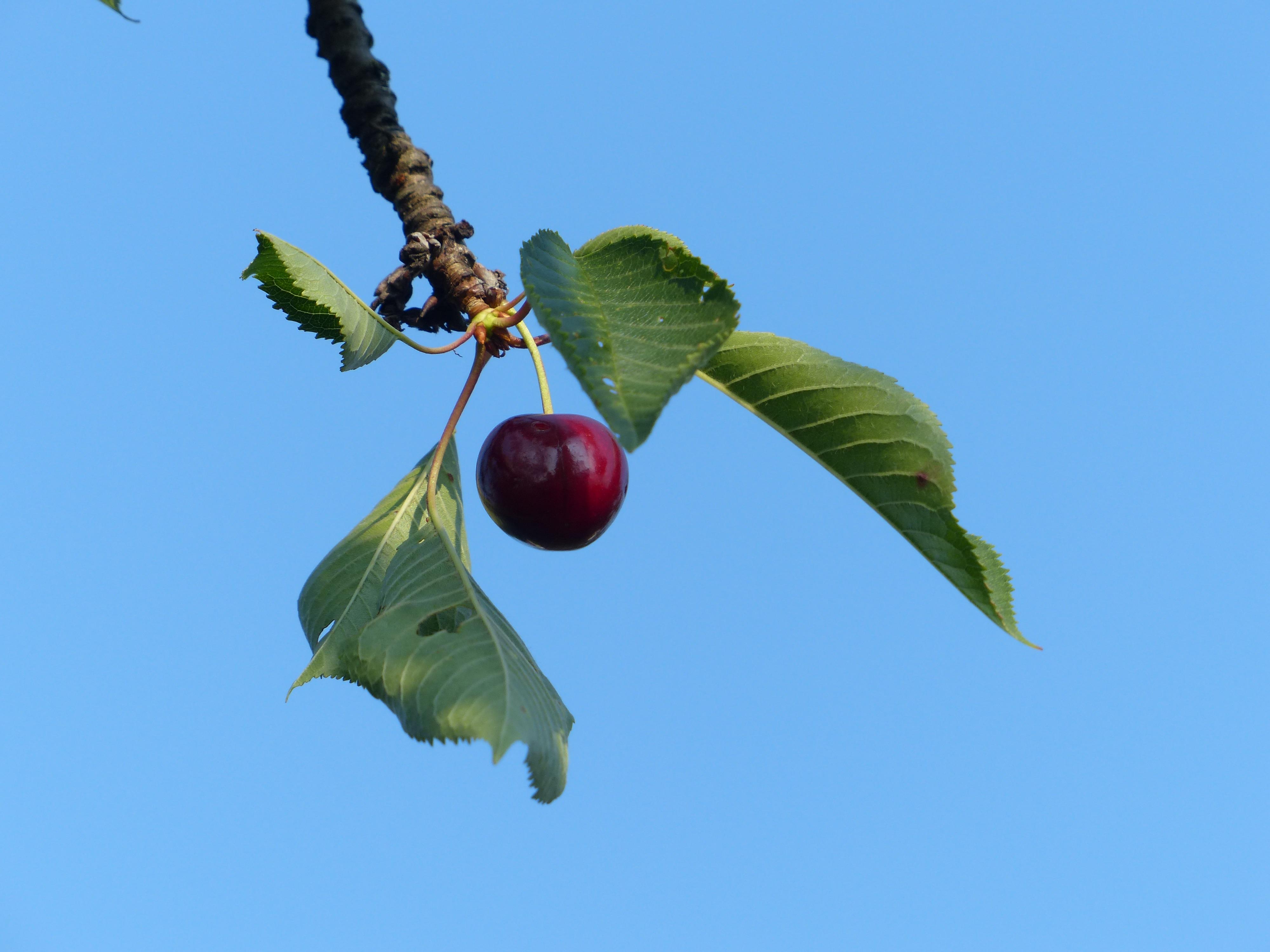 Images gratuites branche fleur fruit doux feuille - Arbre feuille rouge fruit rouge ...