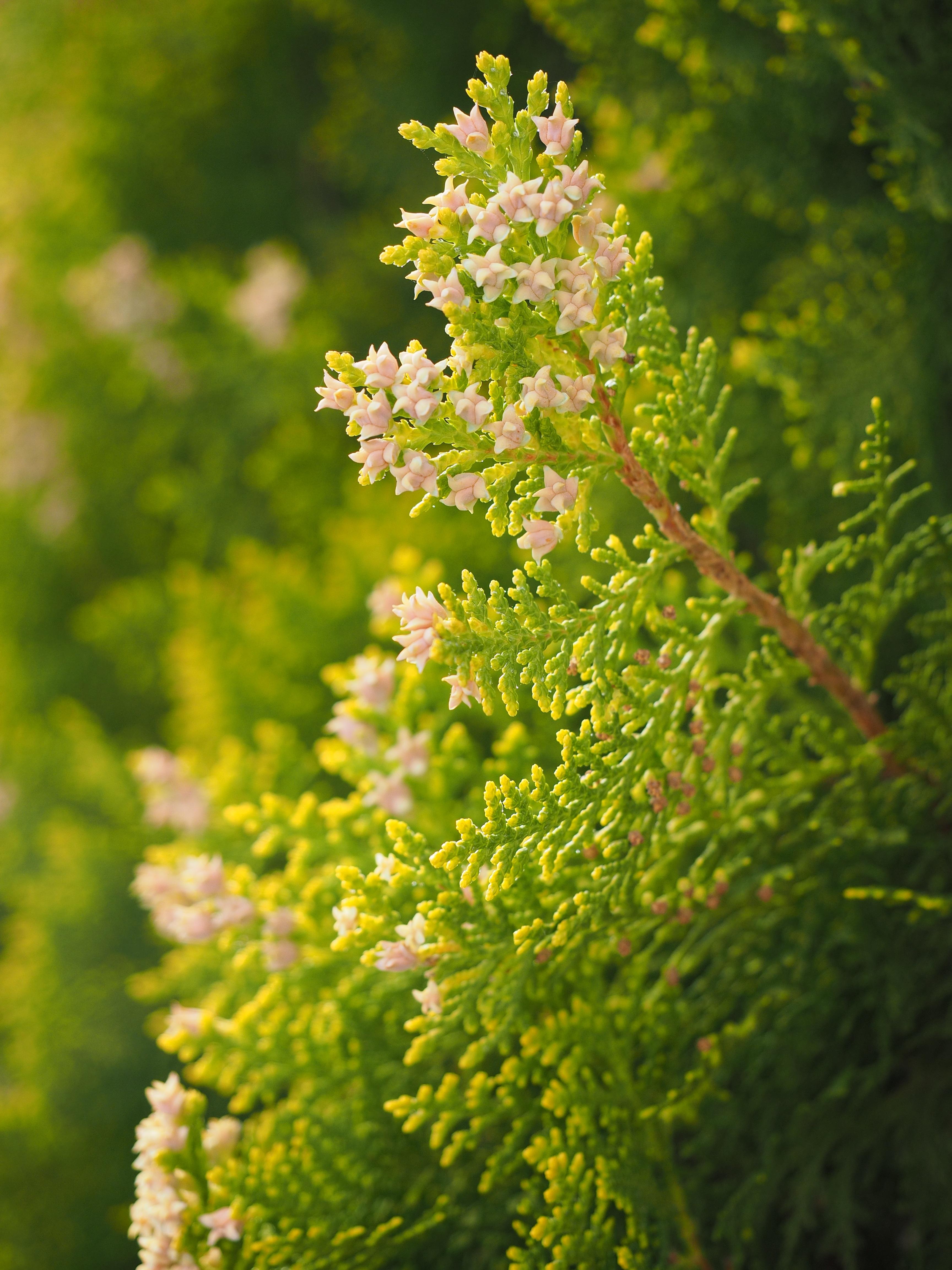 Fotos gratis rama arbusto verde hierba produce for Arboles ornamentales de hoja perenne