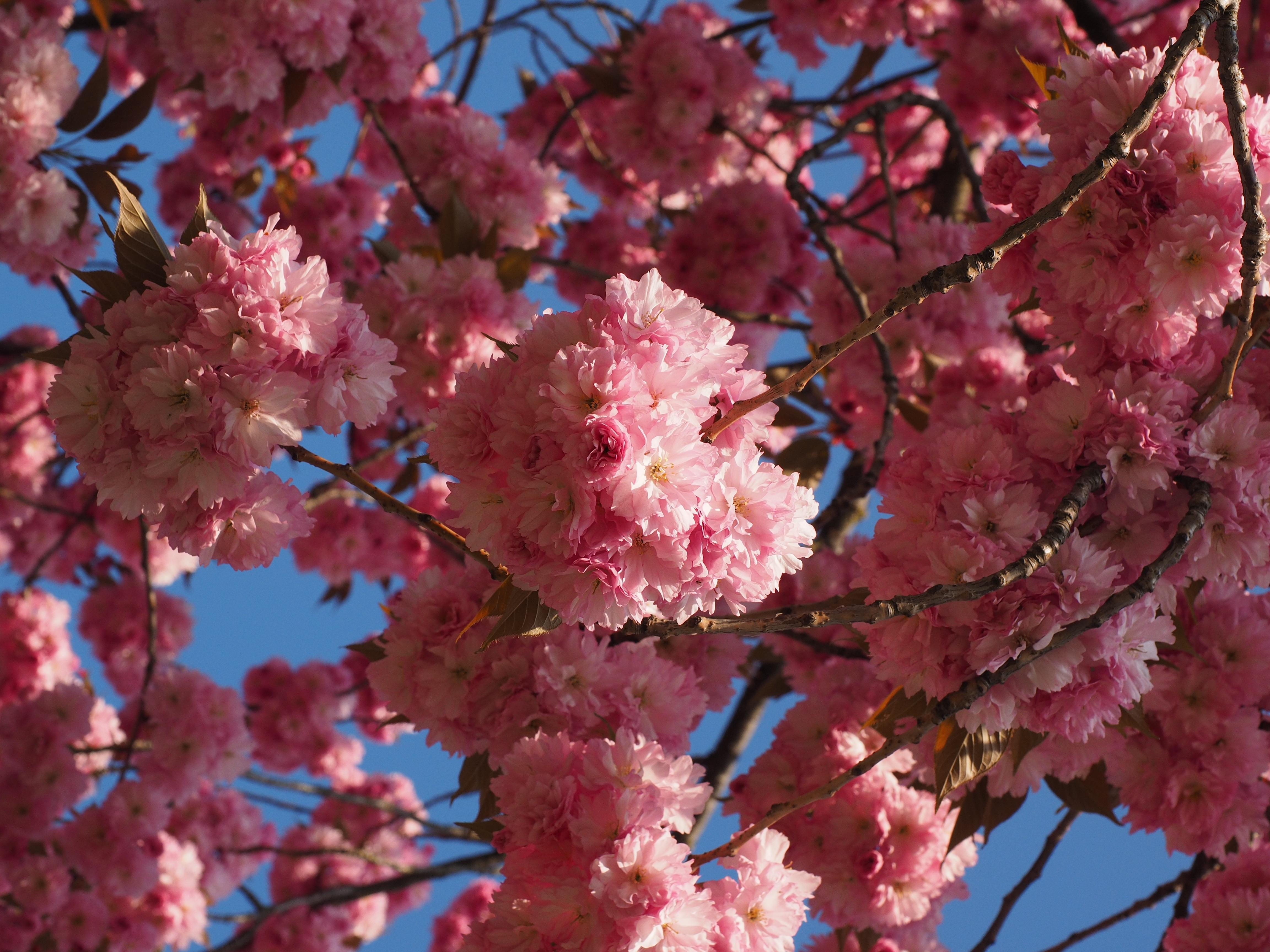 главных ролей фото деревьев с розовыми цветами стильный образ боб-каре