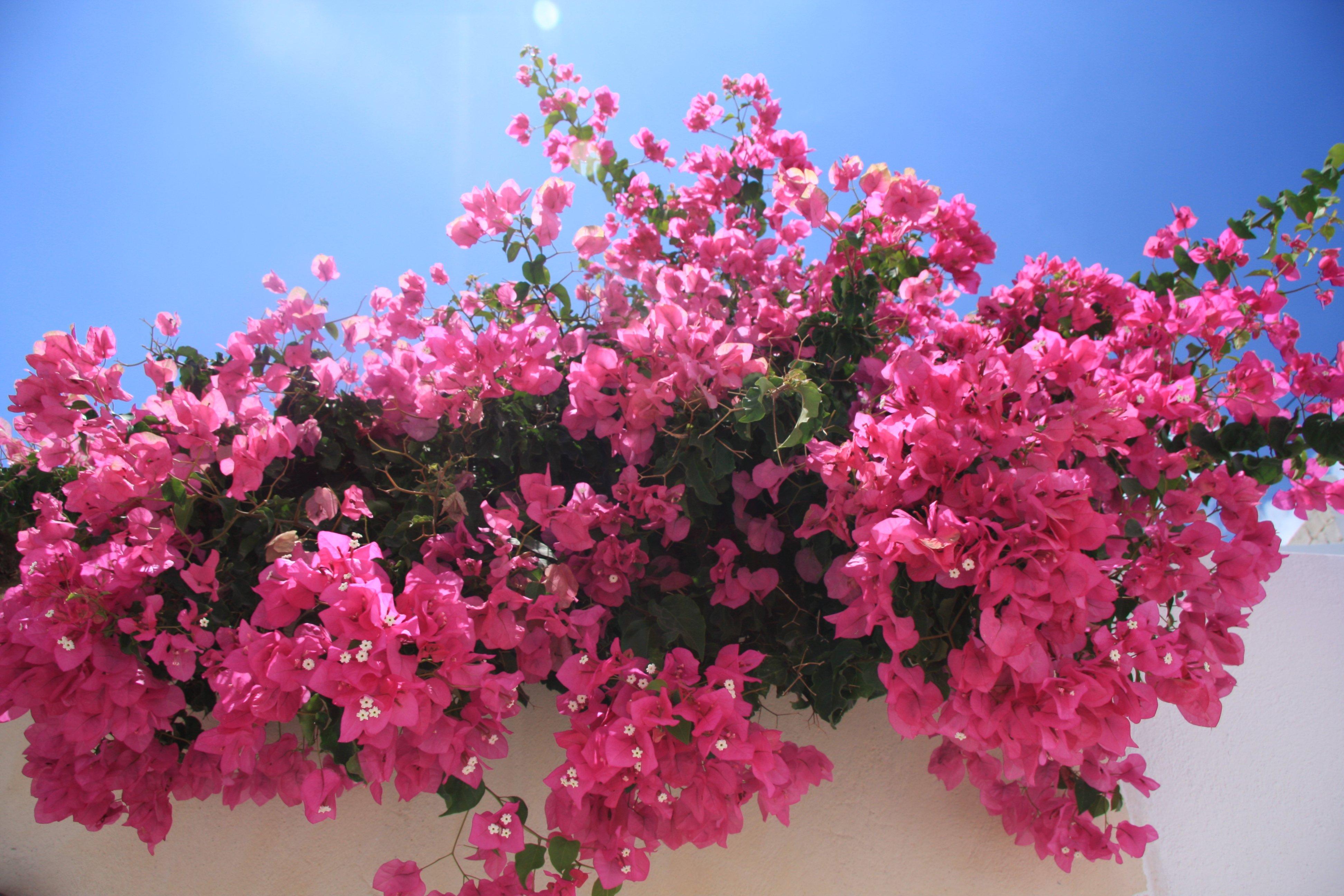 Bougainville Fleur à images gratuites : arbre, branche, fleur, feuille, pétale, rose