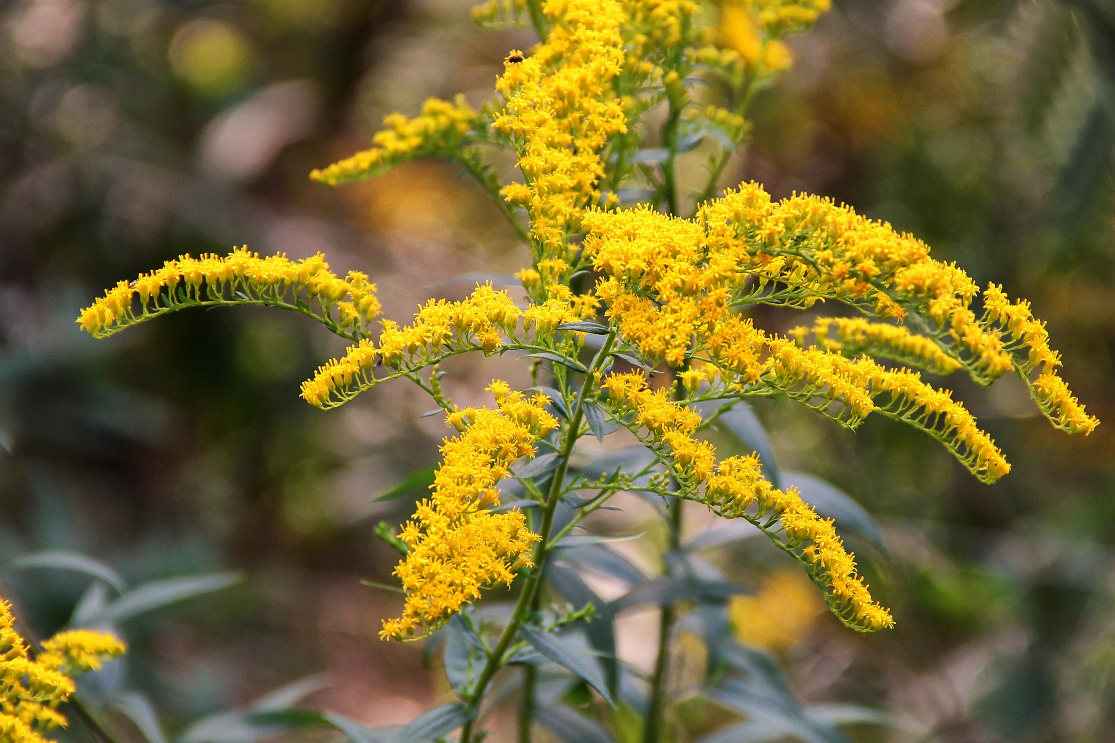 banco de imagens rvore ramo flor plantar folha flor plen comida erva produzir evergreen outono botnica amarelo flora flores silvestres