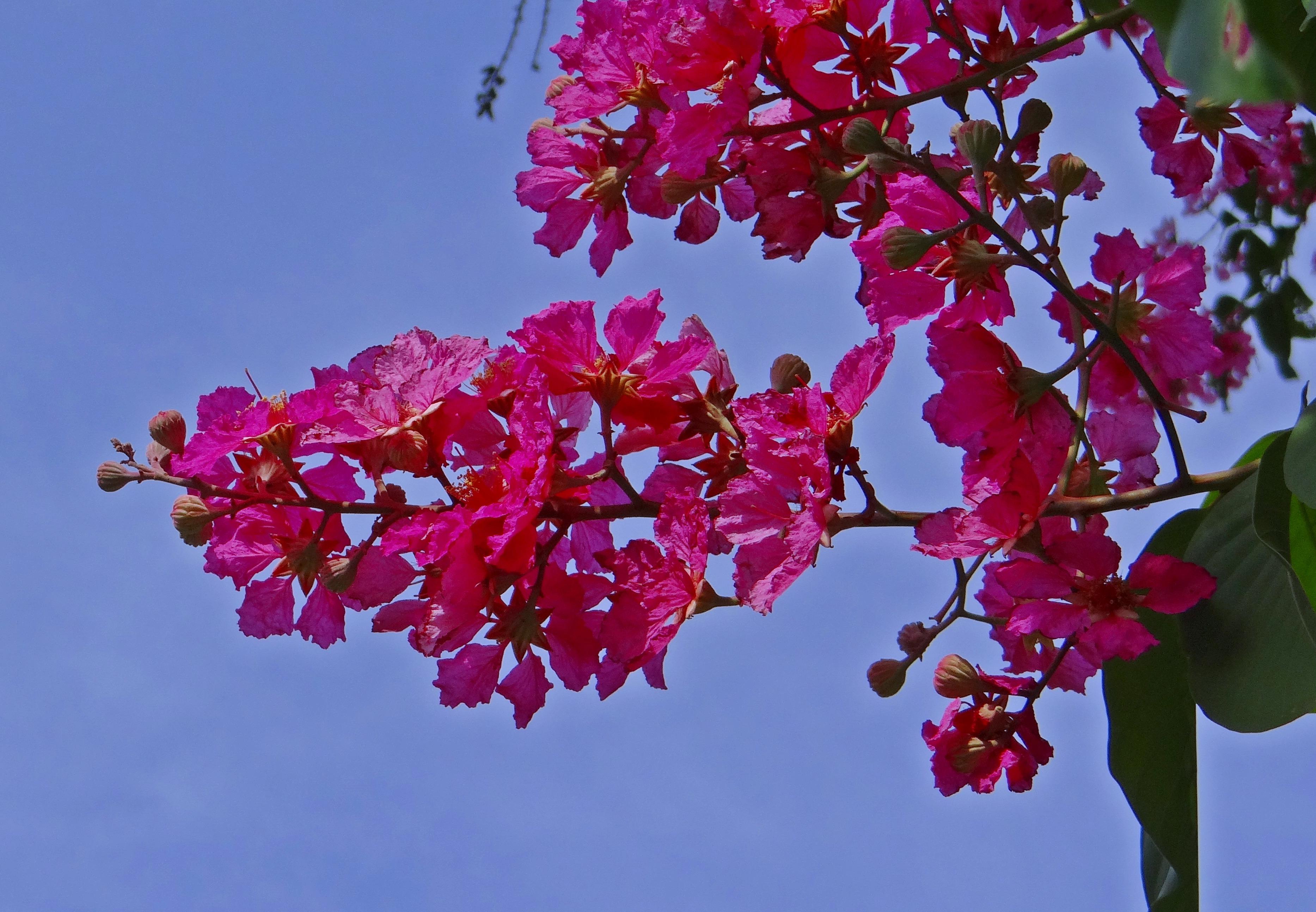 Images Gratuites : arbre, branche, fleur, feuille, violet, pétale, printemps, botanique, flore ...