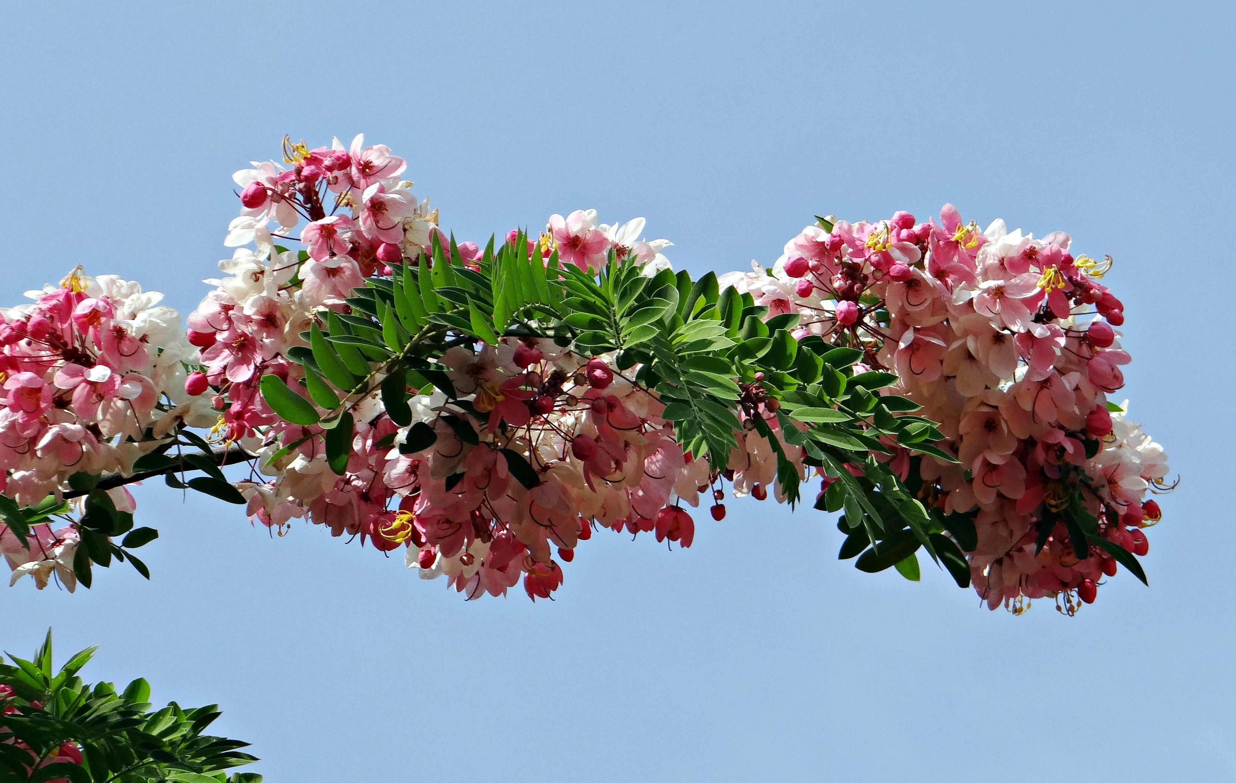 цветущие деревья индии фото востребованных