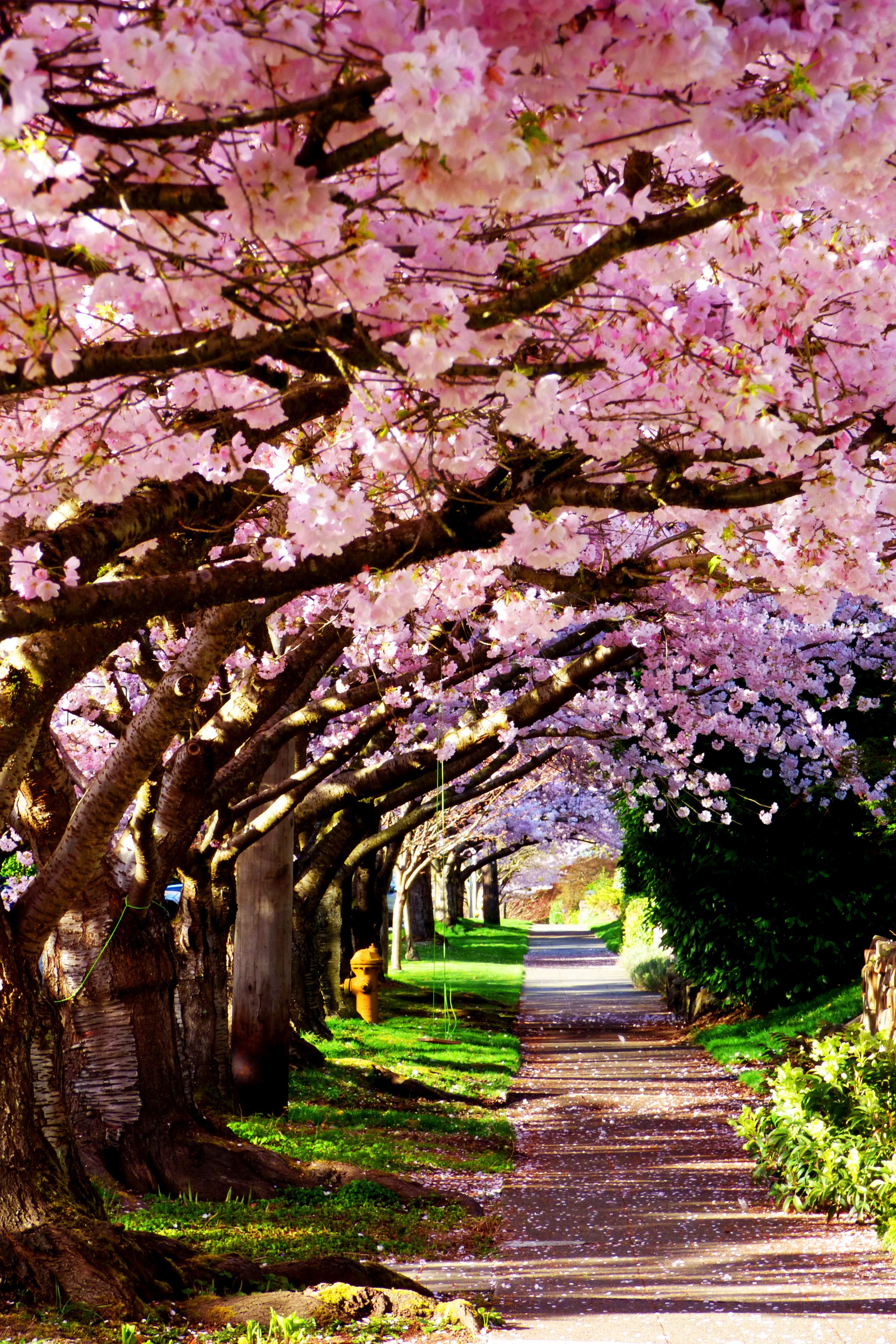 gambar pohon cabang mekar menanam trotoar berkembang kota rh pxhere com