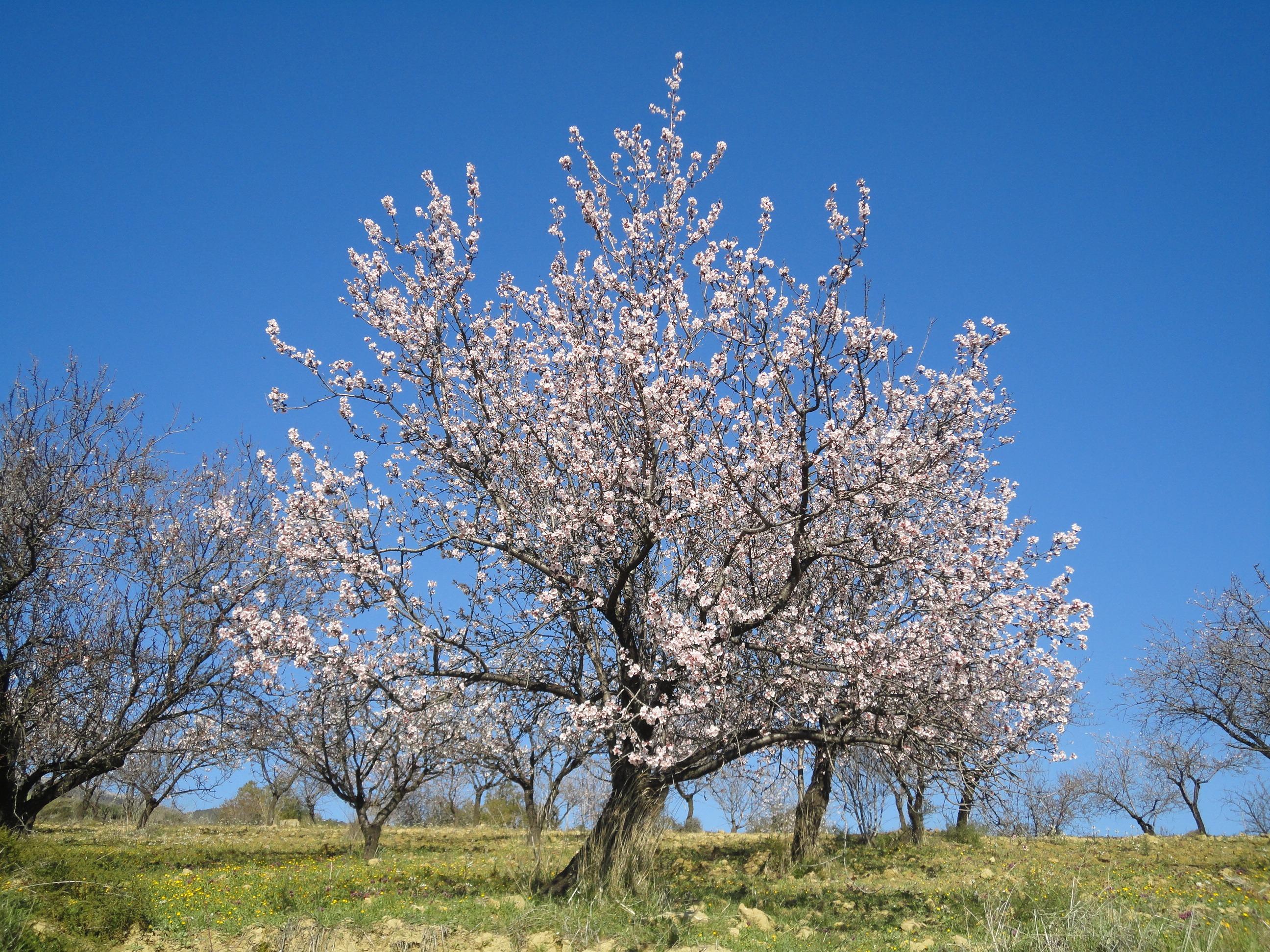 как выглядит миндальное дерево фото ней