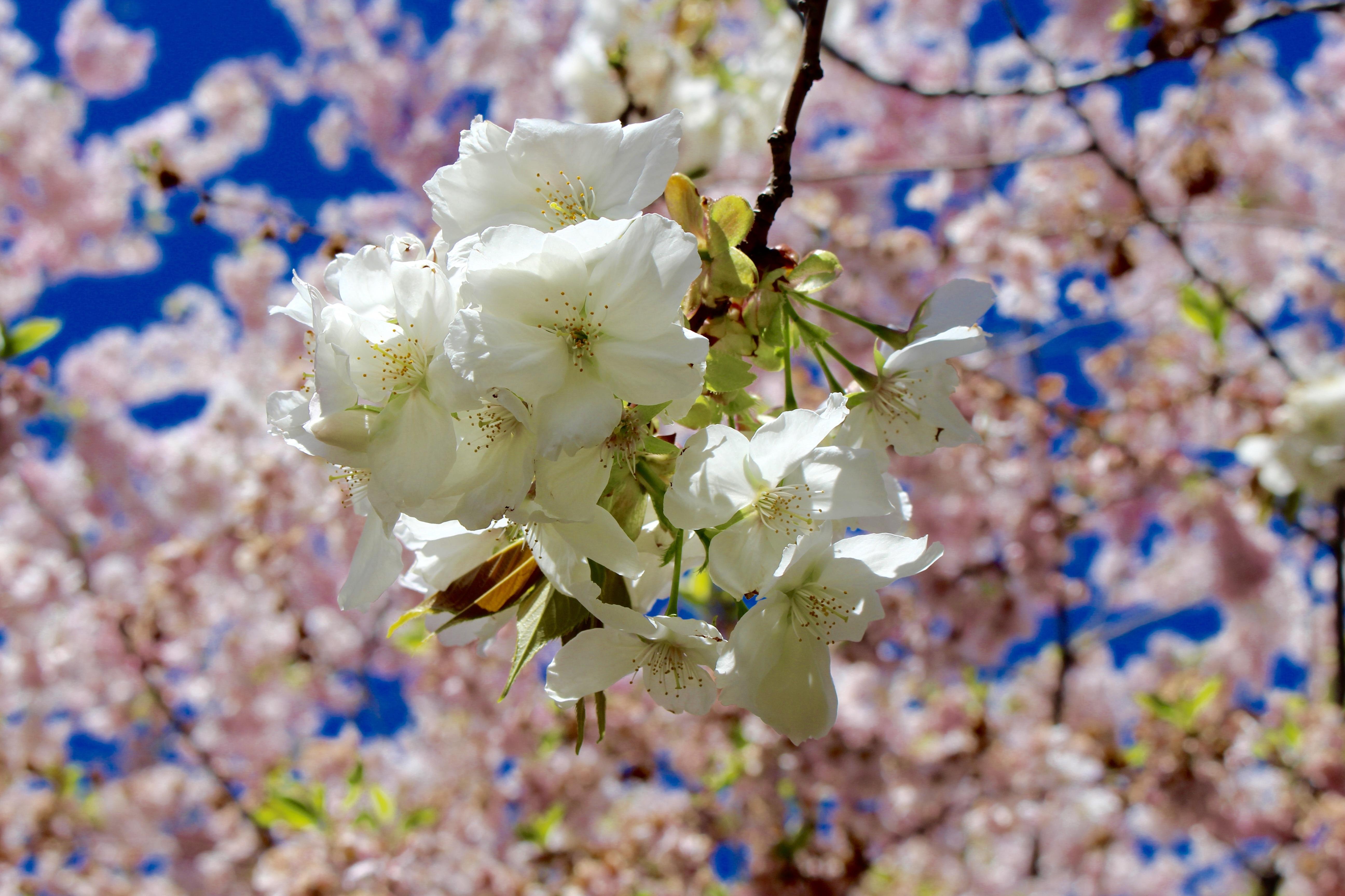 Gambar Pohon Cabang Mekar Menanam Langit Daun Bunga Musim
